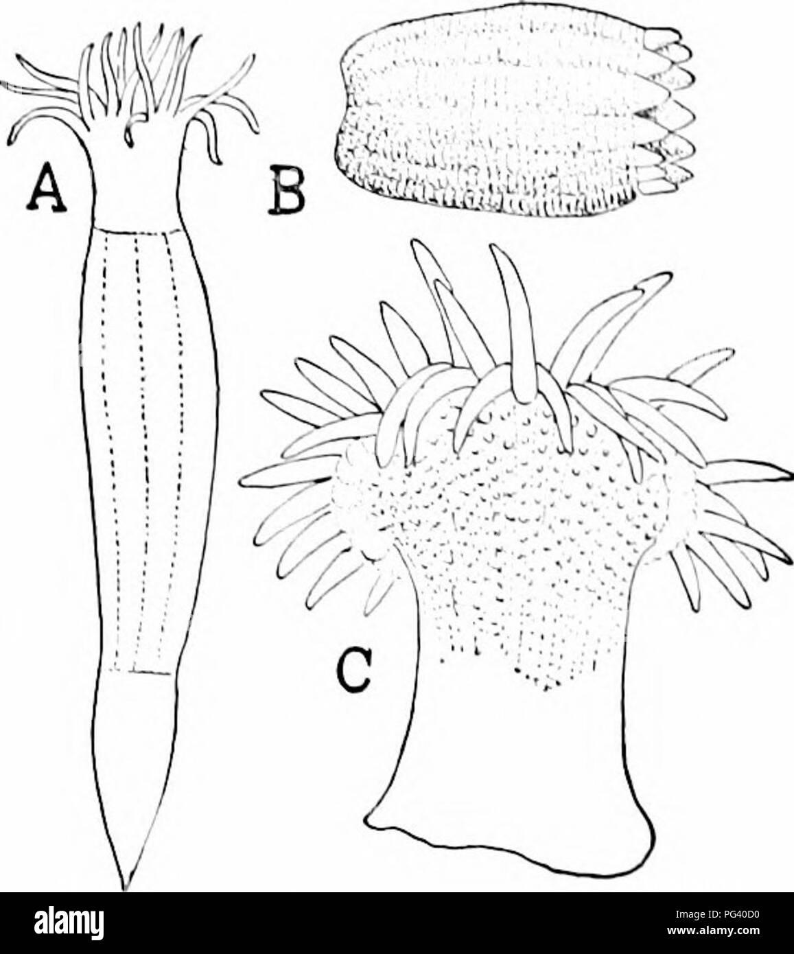 ". A manual of zoology. Zoology. Fig. 201. Fio. 202. Fio. 201.—Tlirce stages in development of Riitilla roiifonnis (after 'ilson). A, cleavage of egg; B, jilanula; C, deelopnient of a'sopliagus; cc, ectoderm; cti. ento- derm; /;/, nieso^L^lcTa; 0, a-soplia^^iis. l'""ic.. 202.—.Vmerican sea-aiieniones. .1, KtkvardsiclUi sipiiut-iiloiiJcs (after Slini]i- son). B, BiciJiiiiii parasiliiiiiii (after 'crrill). i', Biiinnhs slclla iafler XerrilO. .LrYONiiD.T; {Ah-youiuiii'''), axial skeleton is lacking, the llesh contains numerous calcareous particles (sitcrodcniiilfi). The sea pens, rtcNX.-V - Stock Image"