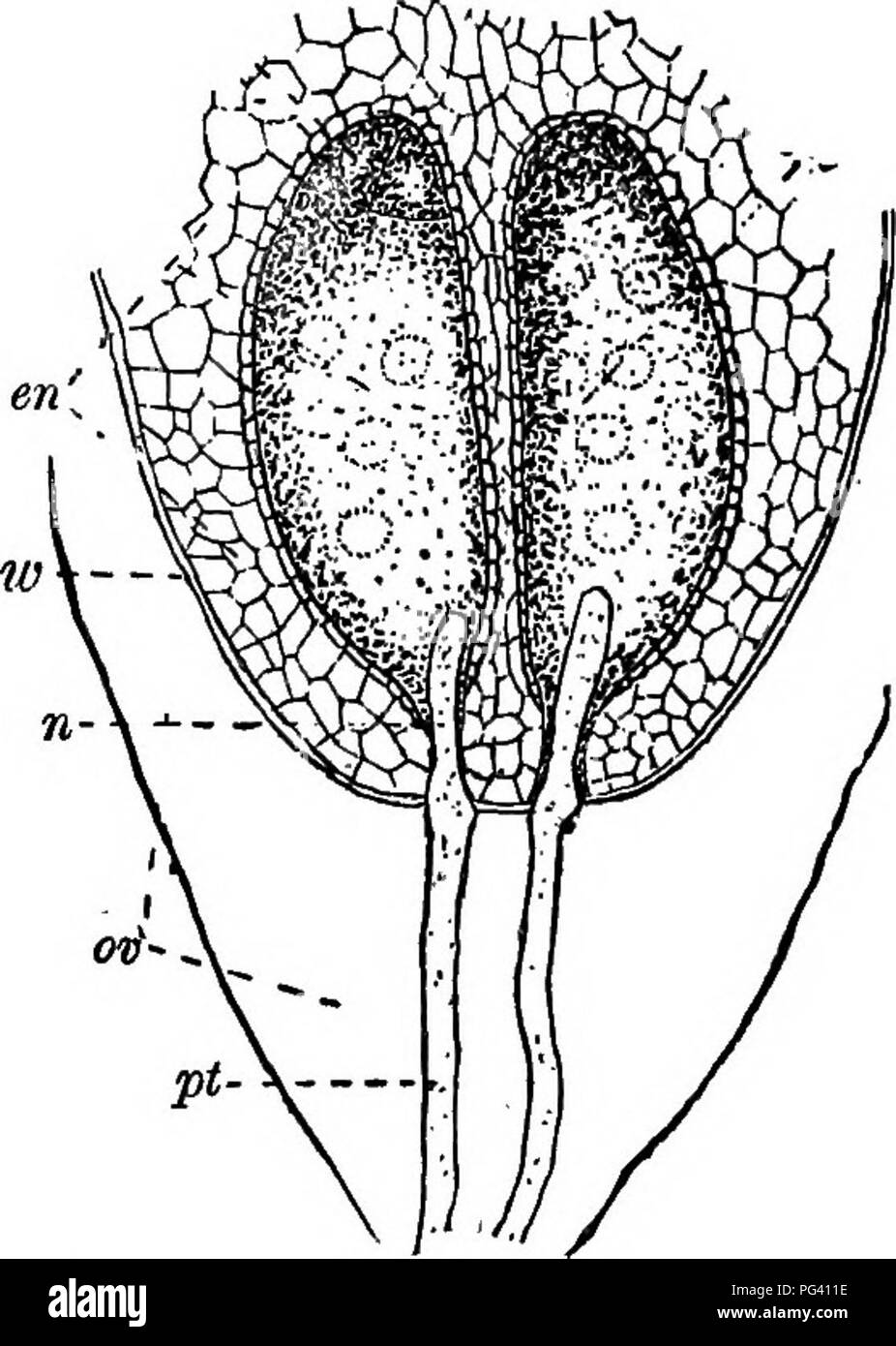 . The essentials of botany. Botany. 218 BOTANY. 463. The ovule-bearing flowers consist of the well-known cones which, when mature, bear the seeds (Fig. 122). The cone consists of a stem bearing many leaf-like scales closely crowded together, and upon these the ovules are produced. Each ovule has one coat which grows up from below, almost covering it; but as the ovules grow they bend. Fia 123.—Part of a Pine-ovule, cm, the body of the ovule; to, embryo-sac filled ipith endosperm, en, which contains two large cells (rudimentary archegones): re, neck of archegone; pi, pollen-tubes growing upward  Stock Photo