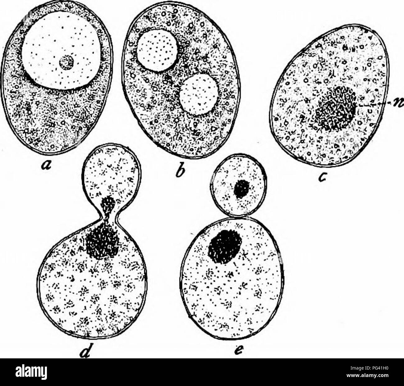 Yeast Cell Stock Photos Yeast Cell Stock Images Alamy