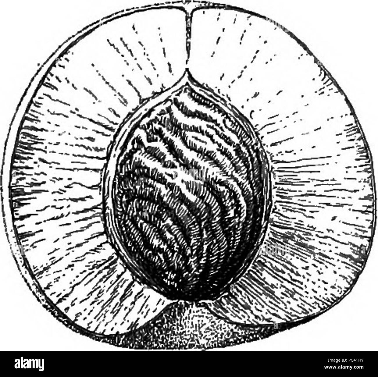 . Foundations of botany. Botany; Botany. 224 FOUNDATIONS OF BOTANY 241. Dry Fruits and Fleshy Fruits. — In all the cases discussed or described in Sects. 238-240, the wall of the ovary (and the adherent calyx when present) ripen into tissues which are somewhat hard and dry. Often, how- ever, these parts become developed into a juicy or fleshy mass by which the seed is surrounded; hence a general division of fruits into dry fruits and fleshy fruits. 242. The Stone-Fruit. — In the peach, apricot, plum, and cherry, the pericarp or wall of the ovary, during the proc- ess of ripening, becomes con-  - Stock Image