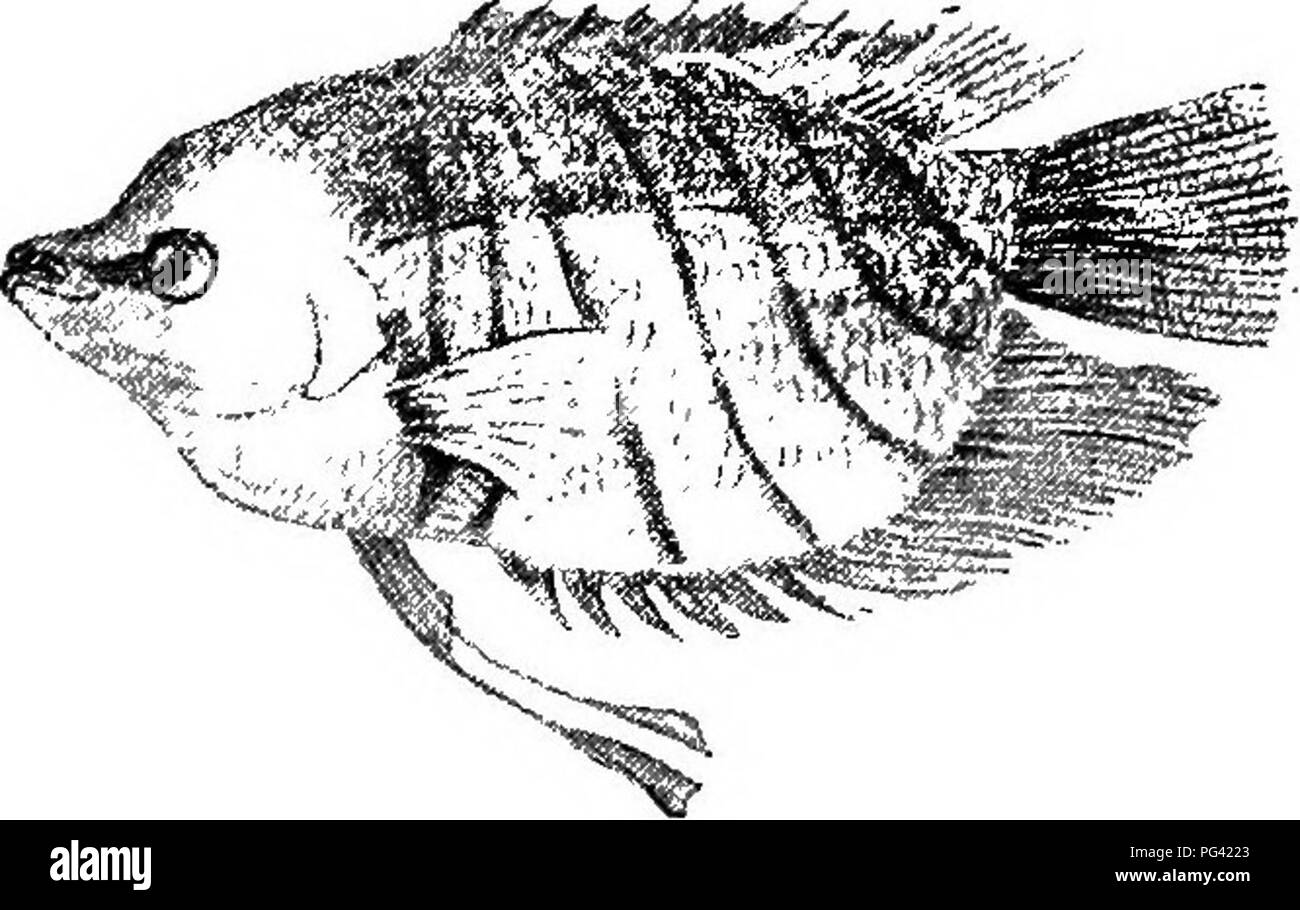 . Fresh-water aquaria: their construction, arrangement, and management, with full information as to the best water-plants and live stock to be kept, how and where to obtain them, and how to keep them in health. Aquariums. 160 FEESH-WATBE AQTTAEIA. natviralists. M. Simon placed them in the charge of M. Carbonnier, under whose care they soon began to spawn. After the spawning, the male fish ejected bubbles from his mouth which did not break when on the surface of the water. He then, much to M. Carbonnier's astonishment, began to swallow the eggs, which he afterwards discharged under the shelter  - Stock Image
