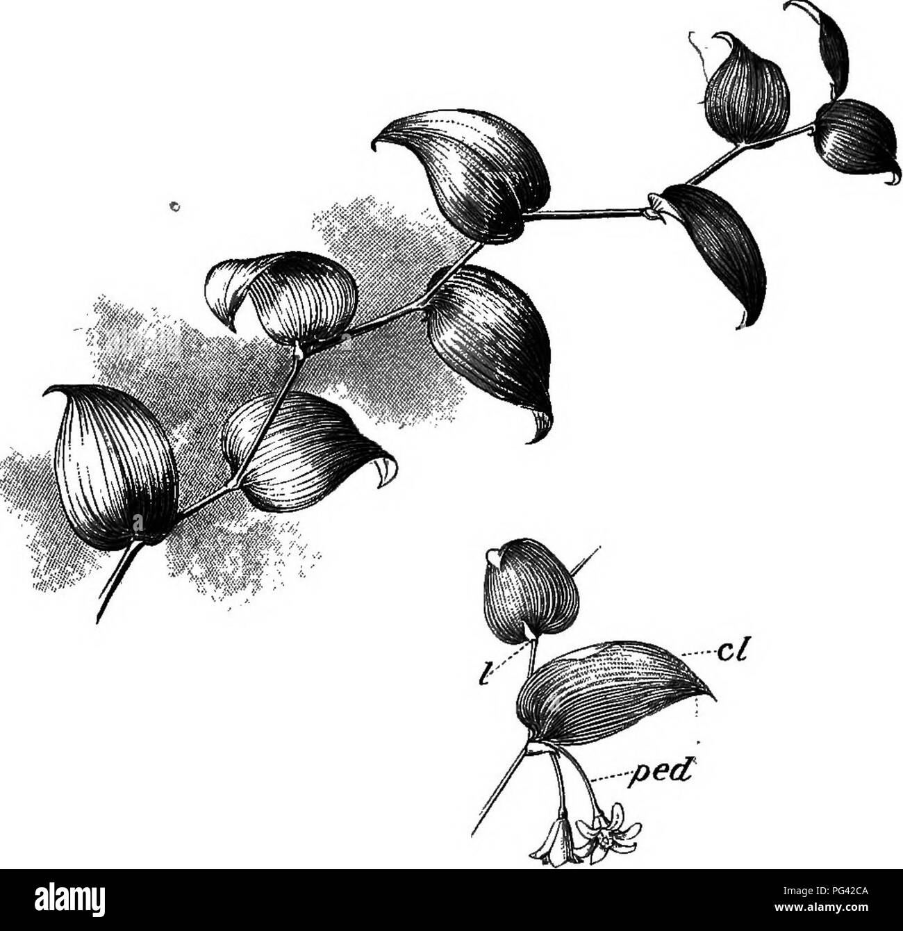 """. Foundations of botany. Botany; Botany. STEMS 81 or the rattan of Indian jungles, reach a length of many hundred feet. On the other hand, in such """"stemless"""" plants as the primrose and the dandelion, the stem may be reduced to a fraction of an inch in length. It may take. Fig. 51.—Stem of """"Smilax"""" (Myrsip I, scale-like leaves; cl, oladophyll, or leaf-like branch, growing in tlie axil of the leaf; ped, flower-stalk, growing in the axil of a leaf. on apparently root-like forms, as in many grasses and sedges, or become thickened by underground deposits of starch and other plan - Stock Image"""