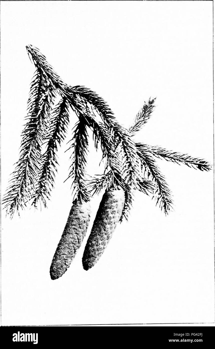 . Our native trees and how to identify them : a popular study of their habits and their peculiarities . Trees. NORWAY SPRUCE. Fruiting Spray of Norway Spruce, Picea excelsa. Cones 4,' to 6' long.. Please note that these images are extracted from scanned page images that may have been digitally enhanced for readability - coloration and appearance of these illustrations may not perfectly resemble the original work.. Keeler, Harriet L. (Harriet Louise), 1846-1921. New York : C. Scribner's Sons - Stock Image