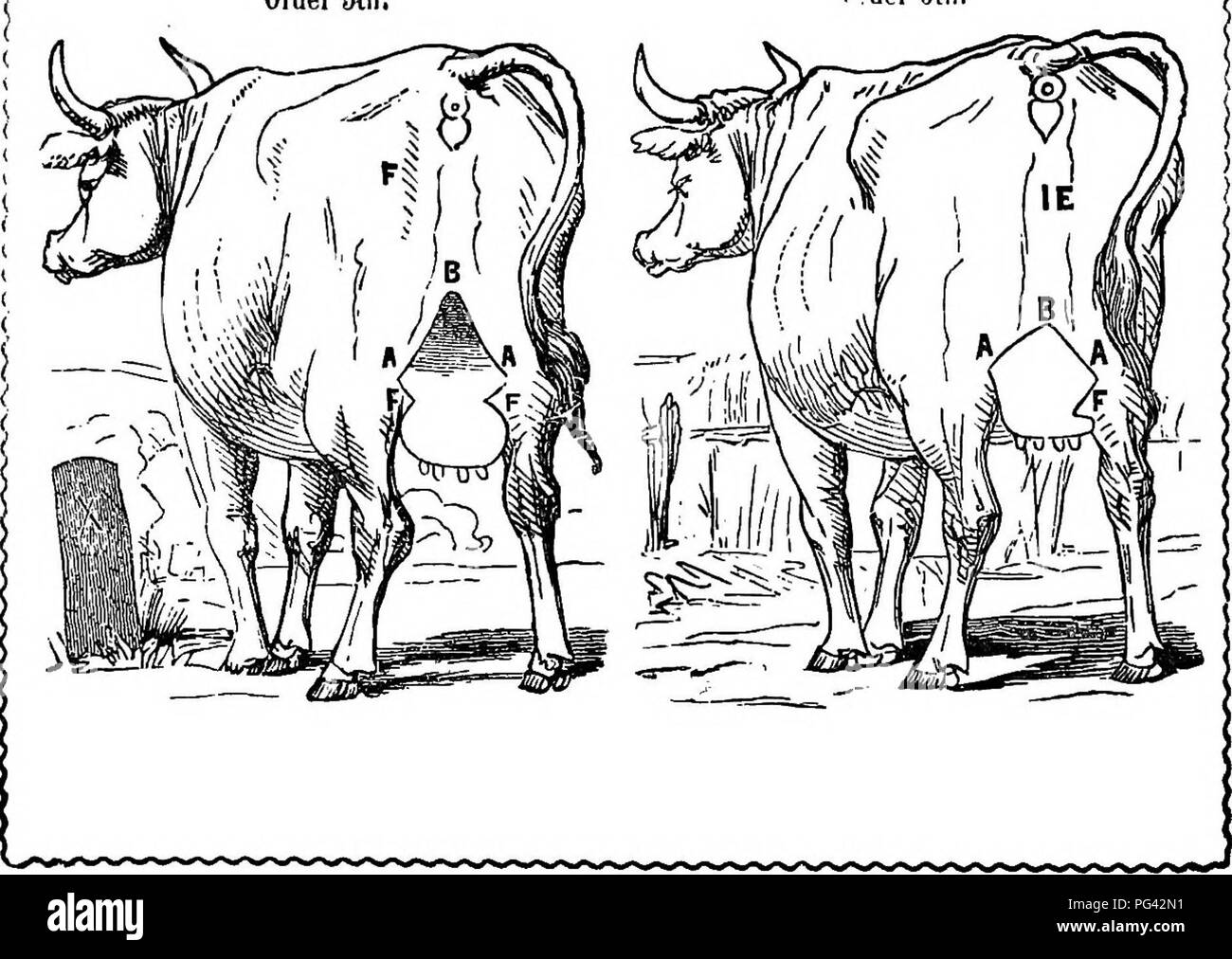 . A treatise on milch cows, whereby the quality and quantity of milk which any cow will give may be accurately determined by observing natural marks or external indications alone; the length of time she will continue to give milk, &c. Cows; Milk; 1862. Order 5th Older Gth.. Please note that these images are extracted from scanned page images that may have been digitally enhanced for readability - coloration and appearance of these illustrations may not perfectly resemble the original work.. Gue?non, Franc?ois, 1796-1855; Skinner, John S. (John Stuart), 1788-1851; Trist, Nicholas Philip, 18 - Stock Image