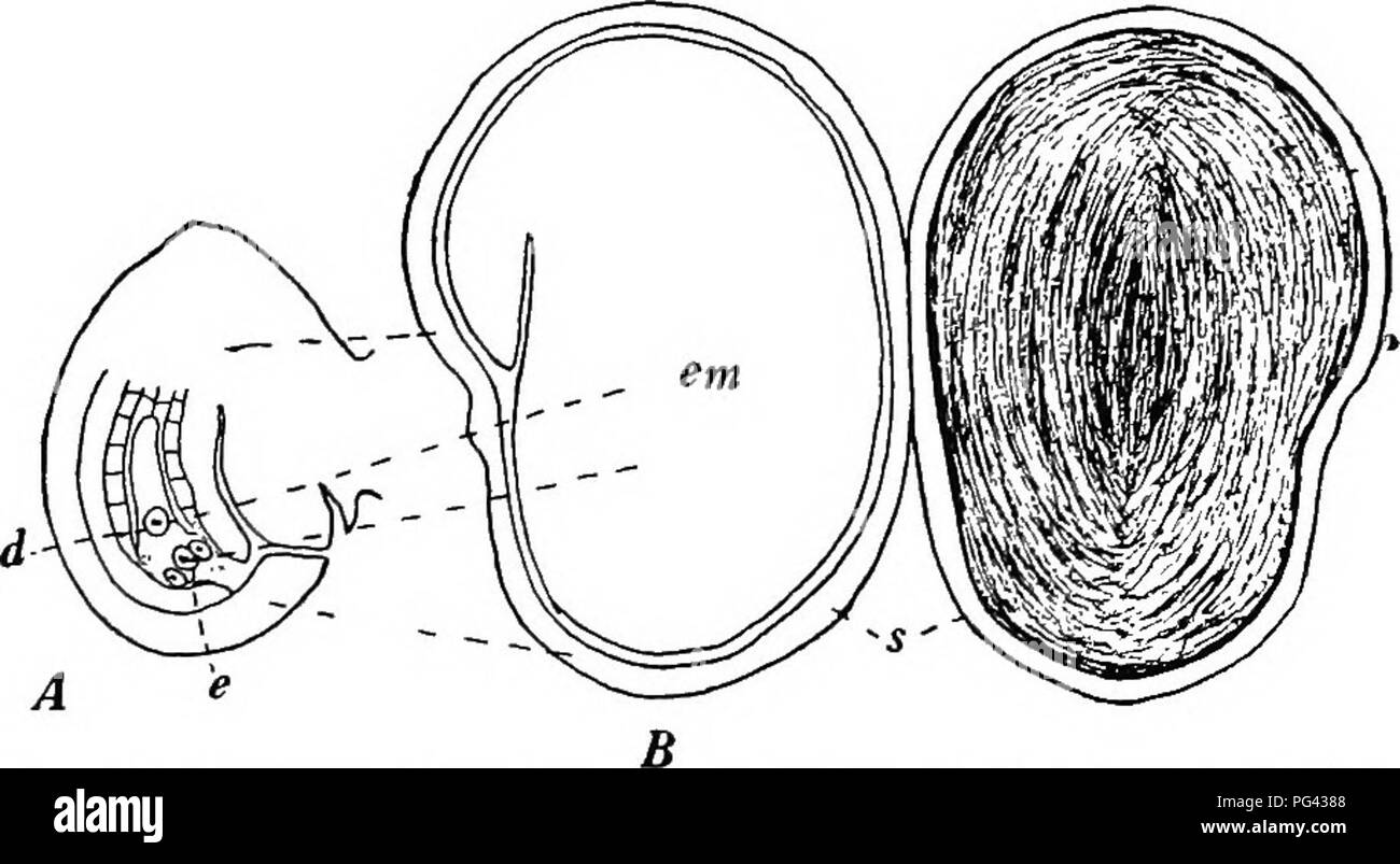 Oat Parts Diagram Wiring And Ebooks Corn Seed Kernel Botany For Agricultural Students Fig 54 A Vertical Rh Alamy Com