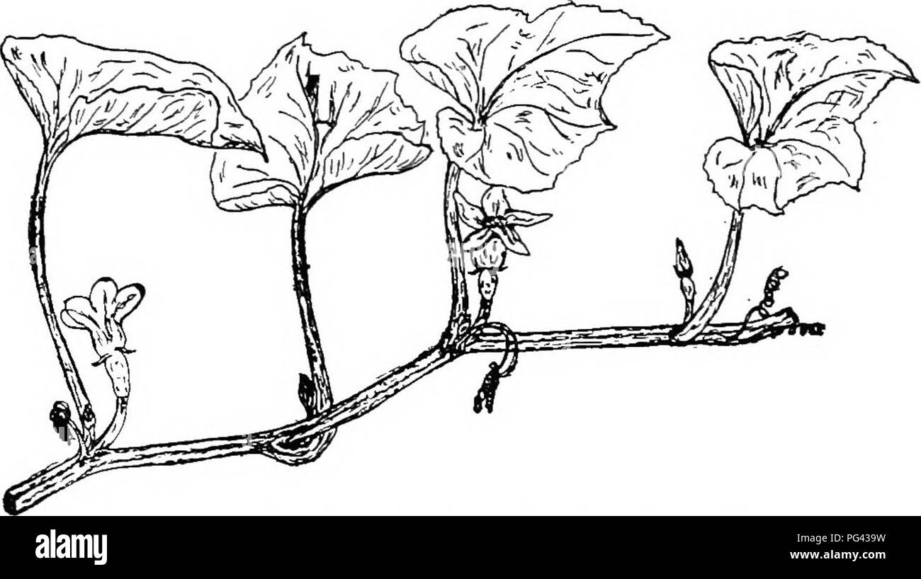 Botany for agricultural students botany fig 27 solitary 27 solitary terminal flower of a lily after andrews fig 28 a portion of a sqiiash plant showing the axillary arrangement izmirmasajfo