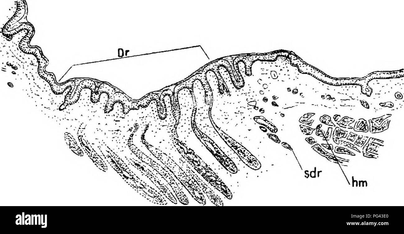 . The mammary apparatus of the mammalia : in the light of ontogenesis and phylogenesis . Mammals; Mammary glands. INCTJBATORIAL AREA IN ECHIDNA 31 Stage 53, these formations, as originally de- scribed by Gegenbaur, have grown much larger than the sweat glands (Fig. 13b, dr). I was able to examine the incubatorium of Stage 53 in toto, and in Fig. 14, it will be seen that the primary-primordia, now distinguishable. Fig. 13b.—EcnmNA: Transverse Section through THE Incubatorial Area OF Semon's Embryo, Stage 53. Dr, Gland area ; sdr, sweat gland ; hm, skin-muscle. as the definitive gland areas, hav - Stock Image