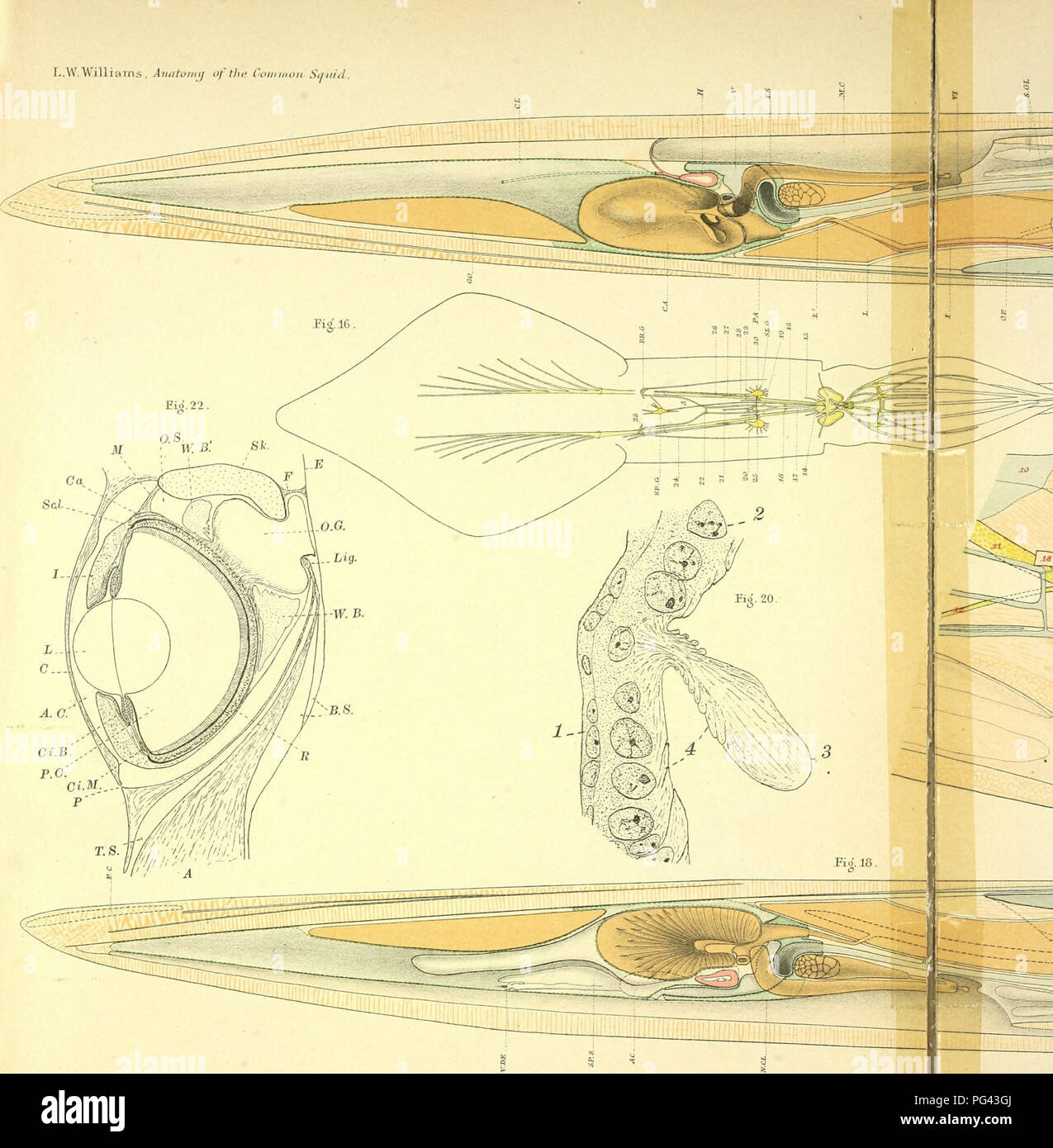 Squid Anatomy Diagram Image Search Results