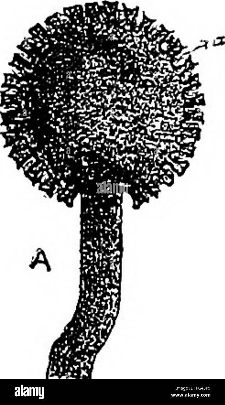 """. The diseases of crops and their remedies : a handbook of economic biology for farmers and students. Plant diseases. GRAMINEOUS CBOPS. 105 of rye are so familiar to farmers ttat little need be said of their external characters. They are elongated blackish growths found on spiies of rye (Kg. 40 A) and other cereals as well as on certain mature grasses. A microscopic section through an ergot (Fig. 40 B) shows a compacted mass of irregularly shaped and very thick- walled cells. In what is known as the """" early condition,"""" an ergot gives rise to a loosely matted mycelium bearing. Please  - Stock Image"""