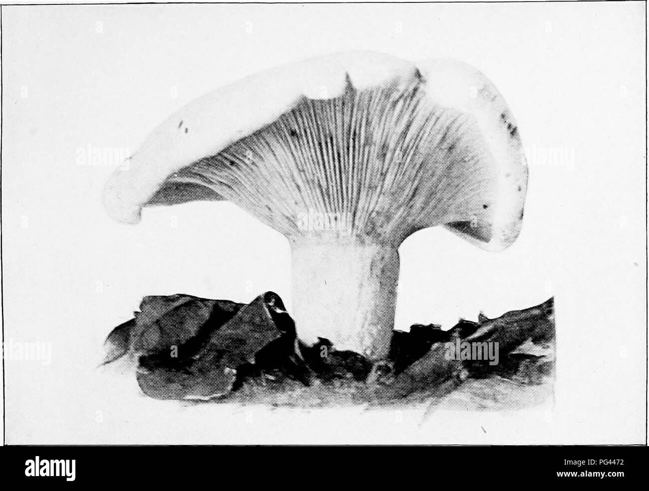 . The mushroom book. A popular guide to the identification and study of our commoner Fungi, with special emphasis on the edible varieties. Mushrooms; Cookery (Mushrooms); cbk. PEPPERY LACTARIUS (Lactarius piperatus^ Scop. Nat. size). Please note that these images are extracted from scanned page images that may have been digitally enhanced for readability - coloration and appearance of these illustrations may not perfectly resemble the original work.. Marshall, Nina L. (Nina Lovering). New York, Doubleday, Page & Co. - Stock Image