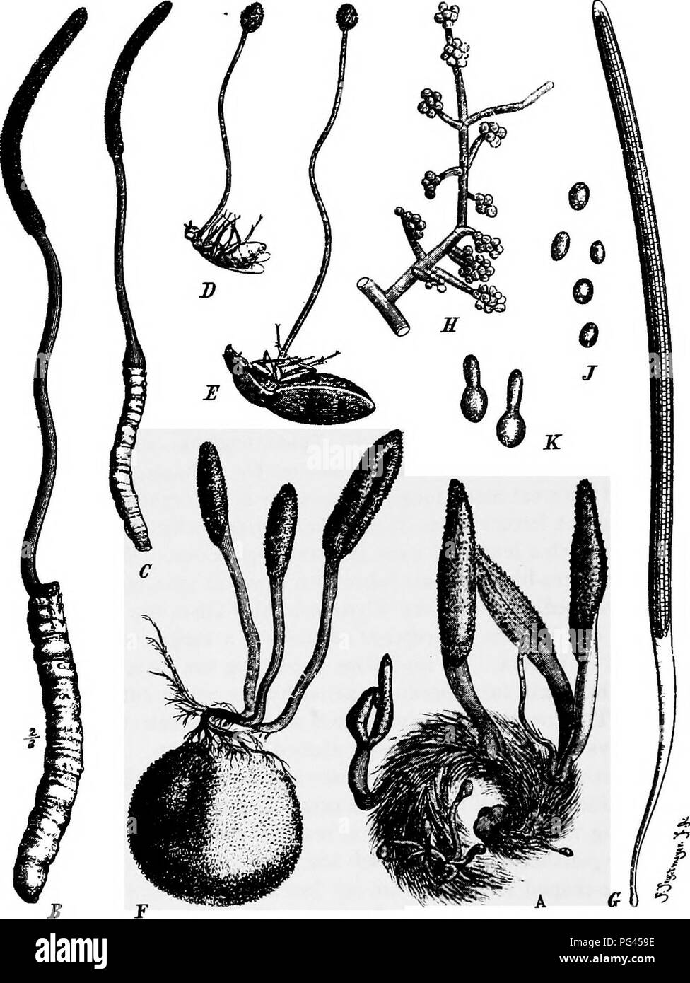 . A text-book of mycology and plant pathology . Plant diseases; Fungi in agriculture; Plant diseases; Fungi. 7° MYCOI-OGY. Fig. 21.—A Cordyceps militaris; B, Cordyceps Hiigelii on a caterpillar; D, Cordy- ' ceps sphterocephala on a wasp; E, Cordyceps cinerea on a beetle; F—K, Cordyceps ophioglossoides, F on a deer truffle; G, ascus; H, conidiophore; J, conidiospores; K, germinating spore. See Die nalurlichen Pflanzenfamilien I. i, p. 368.. Please note that these images are extracted from scanned page images that may have been digitally enhanced for readability - coloration and appearance of th - Stock Image