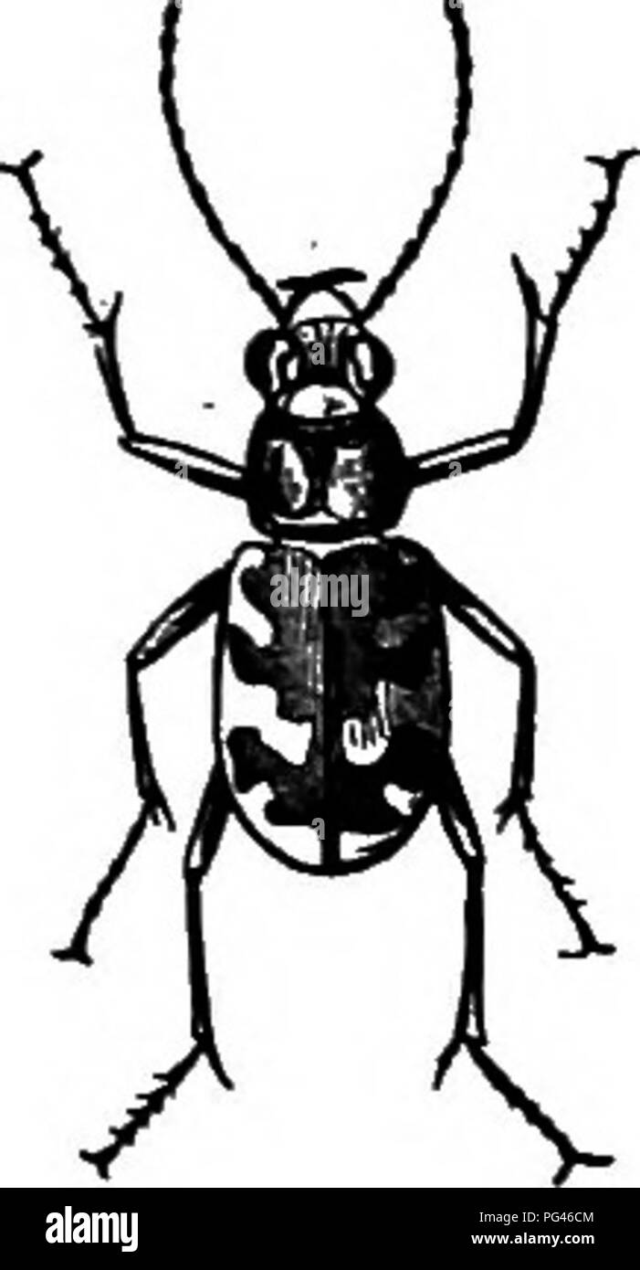 . Farm friends and farm foes : a text-book of agricultural science . Agricultural pests; Beneficial insects; Insect pests. Tiger Beetles them with wide-open jaws, devouring the victims bodily, while others pierce their bodies with pointed beaks to suck their lifeblood. Yet others insert lancelike ovipositors by means of which they leave inside the body of the victim tiny eggs that develop into parasites whose attacks are as fatal as those of the larger foes. Those insects that de- vour the bodies or suck the lifeblood of their victims are called Predaceous Insects. There are a great many diffe - Stock Image
