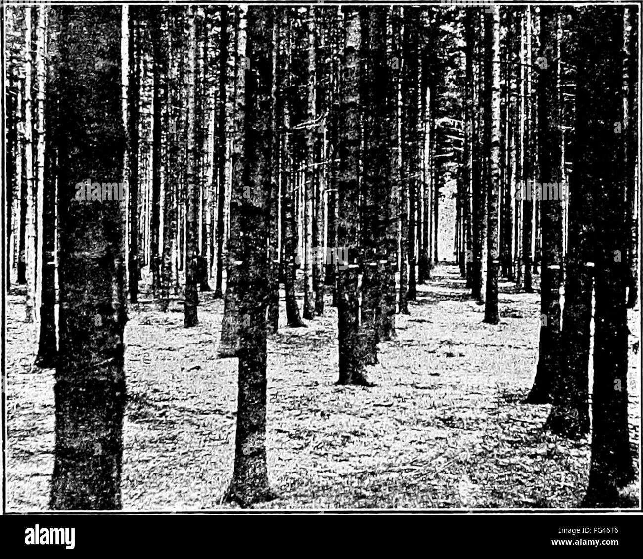 . Principles of American forestry . Forests and forestry. FOREST KECEKEKATION AND TREATMENT. 69 and Willow cuttings may also be used in the same way or with l.)eans. Natural Reseeding of the land is almost the only practi- cal mean^ of restocking cheap forest land, as other methods are too expensive. It generally takes place readily, and the onljr reason why it is not more successful is the fre- quent destruction of the young seedlings by fires and cattle. The small crooked branching Pine and other. Fig. 1.3.—A fine young growth of Norway Spruce (Picea excelsa) in the forest garden of the &quo - Stock Image