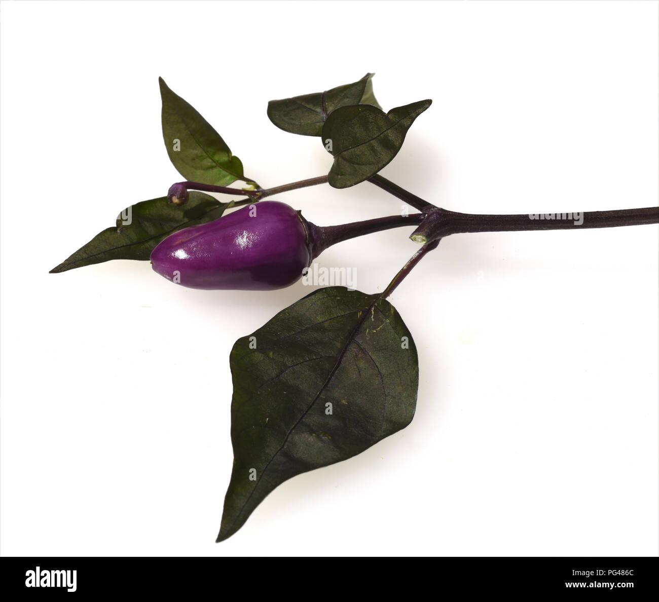 Topfchili, Chili, Lila Luzi F1, Kraeuter, Heilpflanze - Stock Image