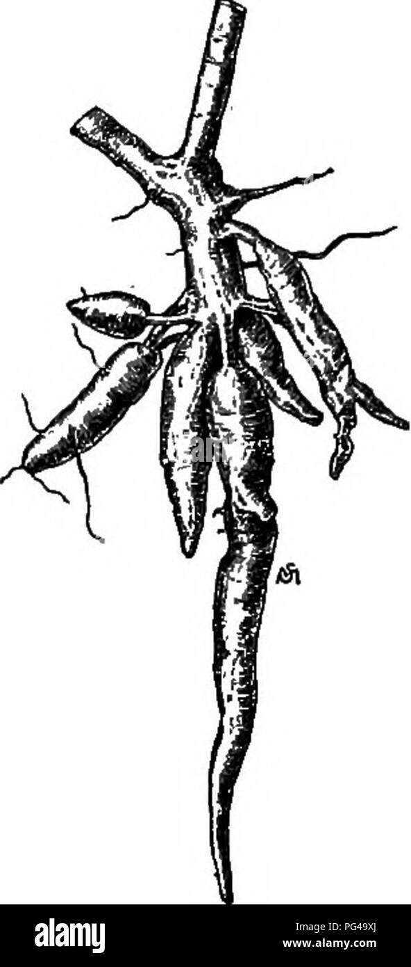 . Essentials of botany. Botany; Botany. Fig. 229. A Twig and Cluster of Roots of Cassava. (Mucli reduced.) soon removed by heating or merely drying the ground roots, which form an extremely valuable food for horses, cattle, and hogs. Arrowroot is a highly digestible kind of starch obtained from the rootstocks of several kinds of tropical plants of the Arrowroot family {Marantacece) and other families. Sugar is manufactured from the juice of the sugar-cane (Fig. 230), a grass growing to the height of ten feet or more, cultivated in Louisiana, the West Indies, Java, and. Please note that these i Stock Photo