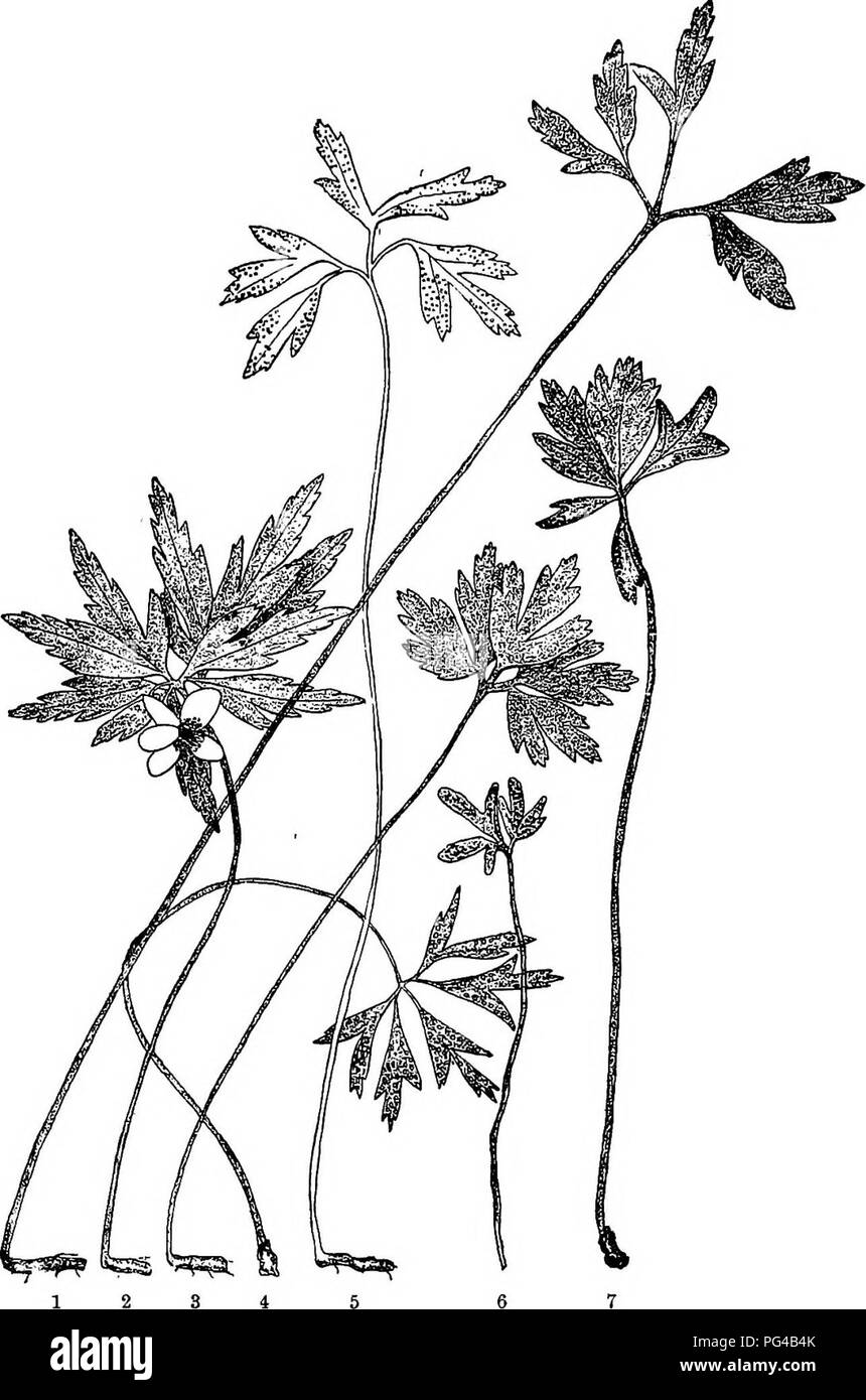 . Diseases of plants induced by cryptogamic parasites : introduction to the study of pathogenic Fungi, slime-Fungi, bacteria, & Algae . Plant diseases; Parasitic plants; Fungi. , PUCCiNiA. 357 cellular spaces were more numerous and also larger. Other minor differences are also given, but there seems to have been. Fig. 190.—Anemone-R%tsL 2 and 3, Normal plants of Anemone ranunculoides. 4, Aecidium punctatmn on Anemone ranunculoides ; aecidia on the lower surface of the leaf; the plants are abnormally elongated, and the leaf-segments are smaller. 6 and 7, Puccinia fusca on Anemone nemorosa ; - Stock Image