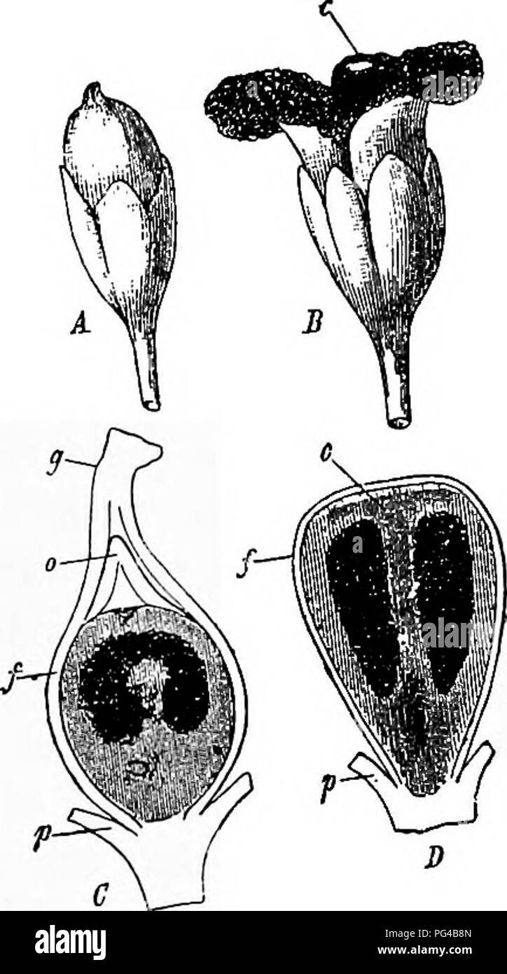 """. Diseases of plants induced by cryptogamic parasites : introduction to the study of pathogenic Fungi, slime-Fungi, bacteria, & Algae . Plant diseases; Parasitic plants; Fungi. SPHACELOTHKCA. 303 this fungus as follows :' """" Sphacelotheca forms its compound sporophore in the ovule of its host. When the ovule is normally and fully developed in the young flower, the parasite, which always grows through the flower-stalk into the place of insertion of the ovary, sends its hyphae from the funiculus into the ovule, where they rise higher and higher and surround and penetrate its tissue to su Stock Photo"""