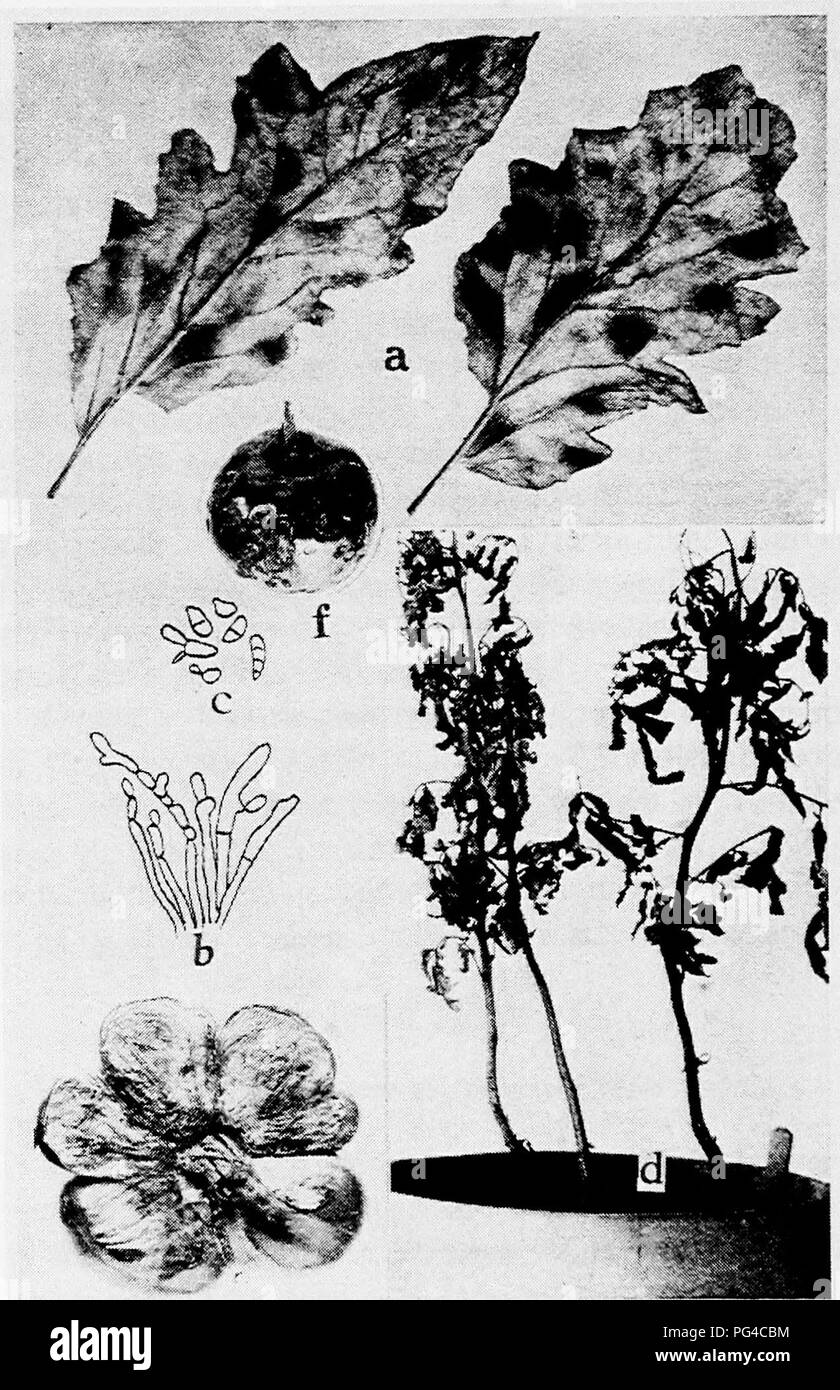 """. Diseases of truck crops and their control . Vegetables. Fig. 67. Tomato Diseases. ti. Cladosporium leaf mold, b. conidiophores of Cladosporiutn fulvum, c. conidia of C. fulvum, b. and c. after Southworth), d. two mm-im.^ ^wCno^-vw^:;-^-, it^u).,£.n^.i-,.;,,."""",'. Scleroiium Rolfsii, e. sunburn, /. Macrosporium, r-. Please note that these images are extracted from scanned page images that may have been digitally enhanced for readability - coloration and appearance of these illustrations may not perfectly resemble the original work.. Taubenhaus, Jacob Joseph, 1884-1937. New York : E. P. D - Stock Image"""