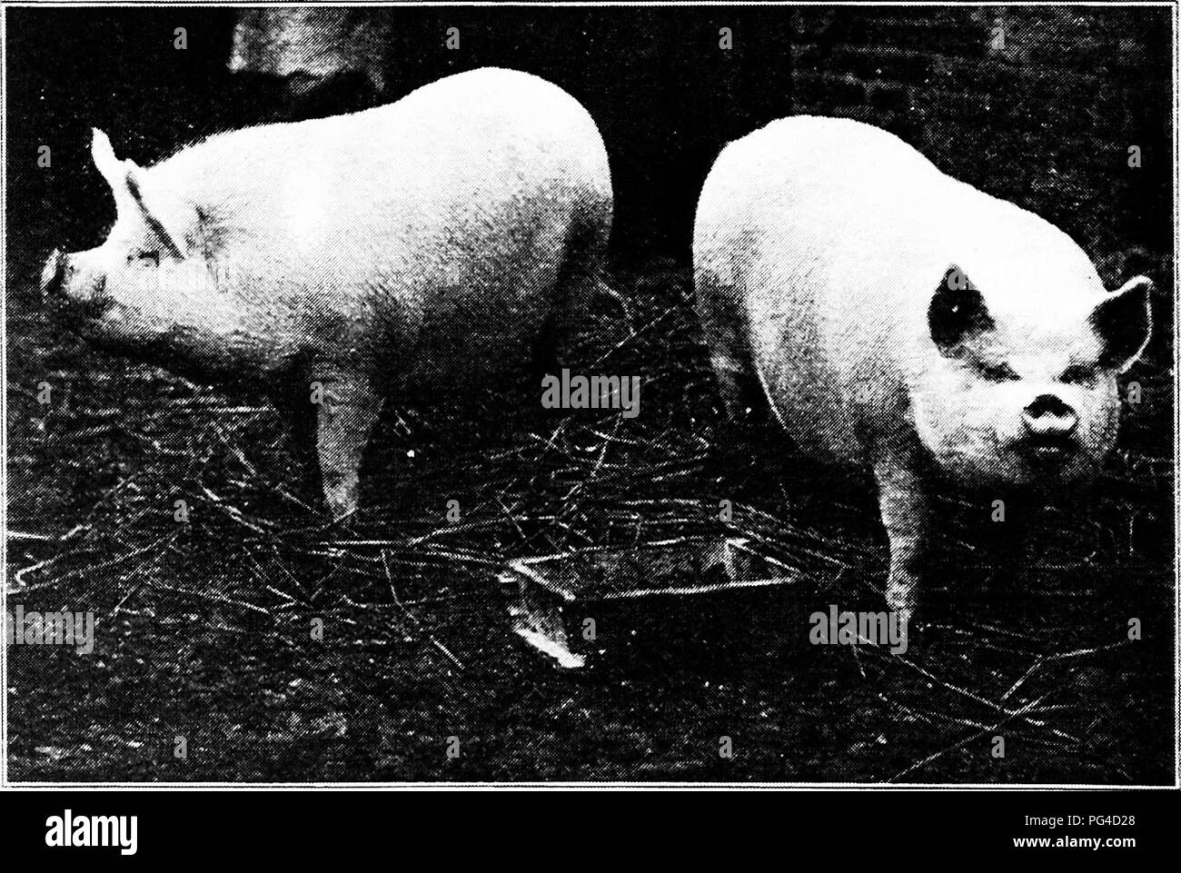 """. Swine : a book for students and farmers . Swine. """"Choice bacon,"""" as classified by Chicago packers. These hogs are not used for Wiltshire sides. They are simply light hogs of the fat or lard type, as the illustration very clearly shows. They help to supply a growing demand for leaner meat. (Courtesy Illinois Agricultural Experiment Station.). Pair of Middle White Barrows; prize winners at the Smithfield Show, England.. Please note that these images are extracted from scanned page images that may have been digitally enhanced for readability - coloration and appearance of these illust - Stock Image"""