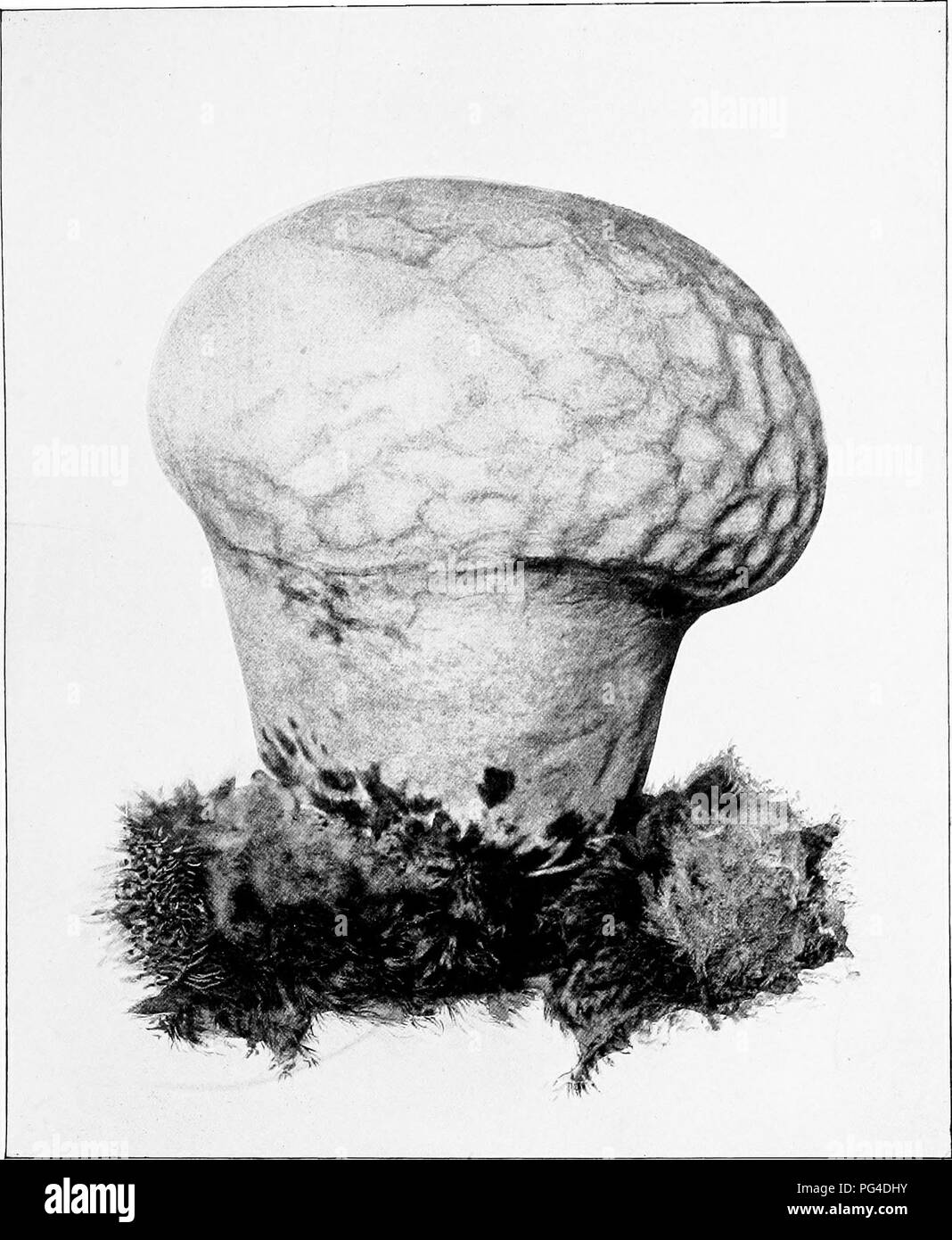 . The mushroom book. A popular guide to the identification and study of our commoner Fungi, with special emphasis on the edible varieties. Mushrooms; Cookery (Mushrooms); cbk. BRAIN PUFFBALL (EDIBLE) {Calvaiia cranifortnzs^ Schw.). Please note that these images are extracted from scanned page images that may have been digitally enhanced for readability - coloration and appearance of these illustrations may not perfectly resemble the original work.. Marshall, Nina L. (Nina Lovering). New York, Doubleday, Page & Co. - Stock Image