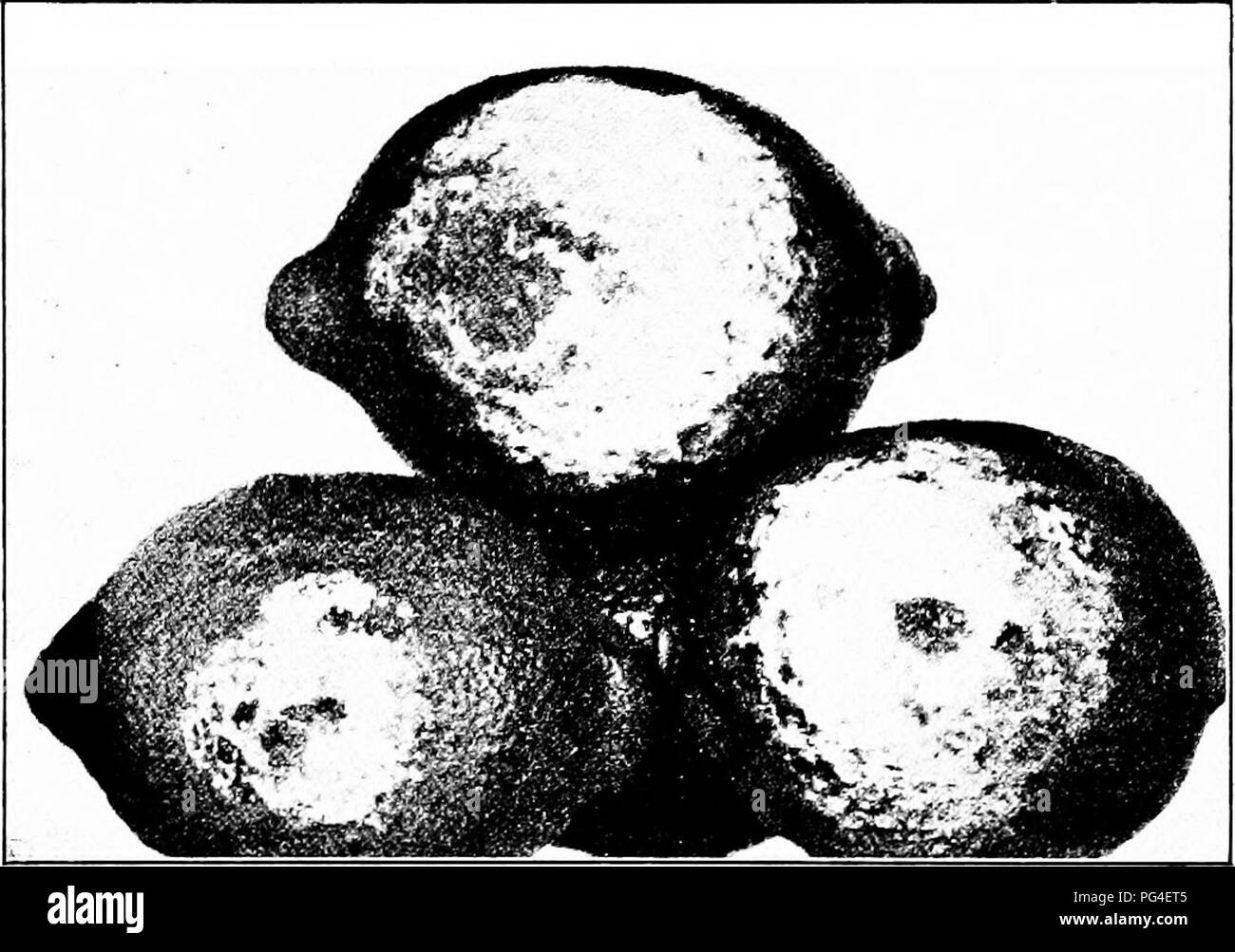 . Diseases of economic plants . Plant diseases. TROPICAL FRUITS 185 The brown rot is found in its purest condition on the fruit in the orchard, especially the fruit on the ground or hanging low on the tree. It is most prevalent in wet weather or on low ground after irrigation. The fungus is. Fig. 79. — Brown rot of lemons, showing white growth of the fungus. After H. E. Smith. visible to the eye in the packing-house, as of a mass of white filaments. It is spread by contact alone. Orchard infection can be controlled by the use of a heavy mulch under the trees, either straw or a heavy cover crop - Stock Image
