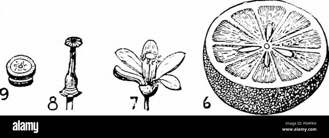 . Culture of the citrus in California . Citrus fruits; Fruit-culture. A. Compound unifoliate leaf of the orange (Cti- rus aurantium). 1. Point of union, marked by an articulation; 2. Petiole, winged on either side; 3. Lamina; 4. Flowering branch of Citrus bigaradia; Sand 6. The fruit; 7. Flower complete; 8. Pistil; 9. Transverse section of ovary. (After Haldane.) is extremely doubtful, having been cultivated from a remote period of antiquity, but is supposed to belong originally to China and India. 4c. Please note that these images are extracted from scanned page images that may have been digi - Stock Image
