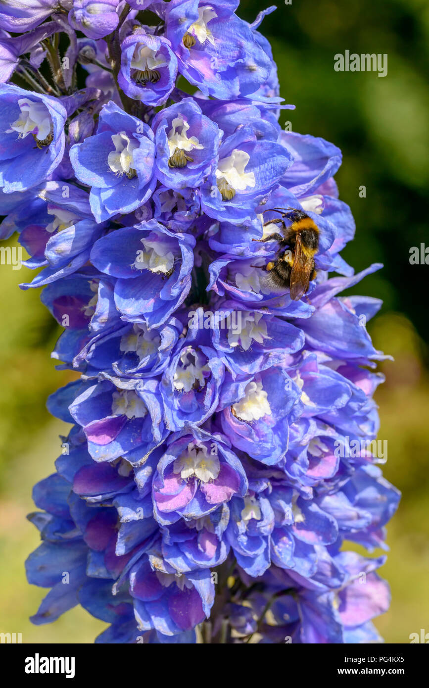close up of bee pollinating blue flower , shot on a bright summer day at Gressoney Saint Jean,  Lys valley, Aosta, Italy - Stock Image