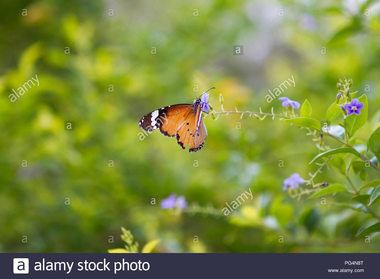 Beautiful Monarch Butterfly - Stock Image