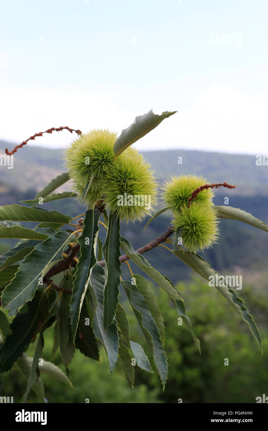 Sweet chestnut tree with nutshells and leaves fagaceae castanea sativa Stock Photo