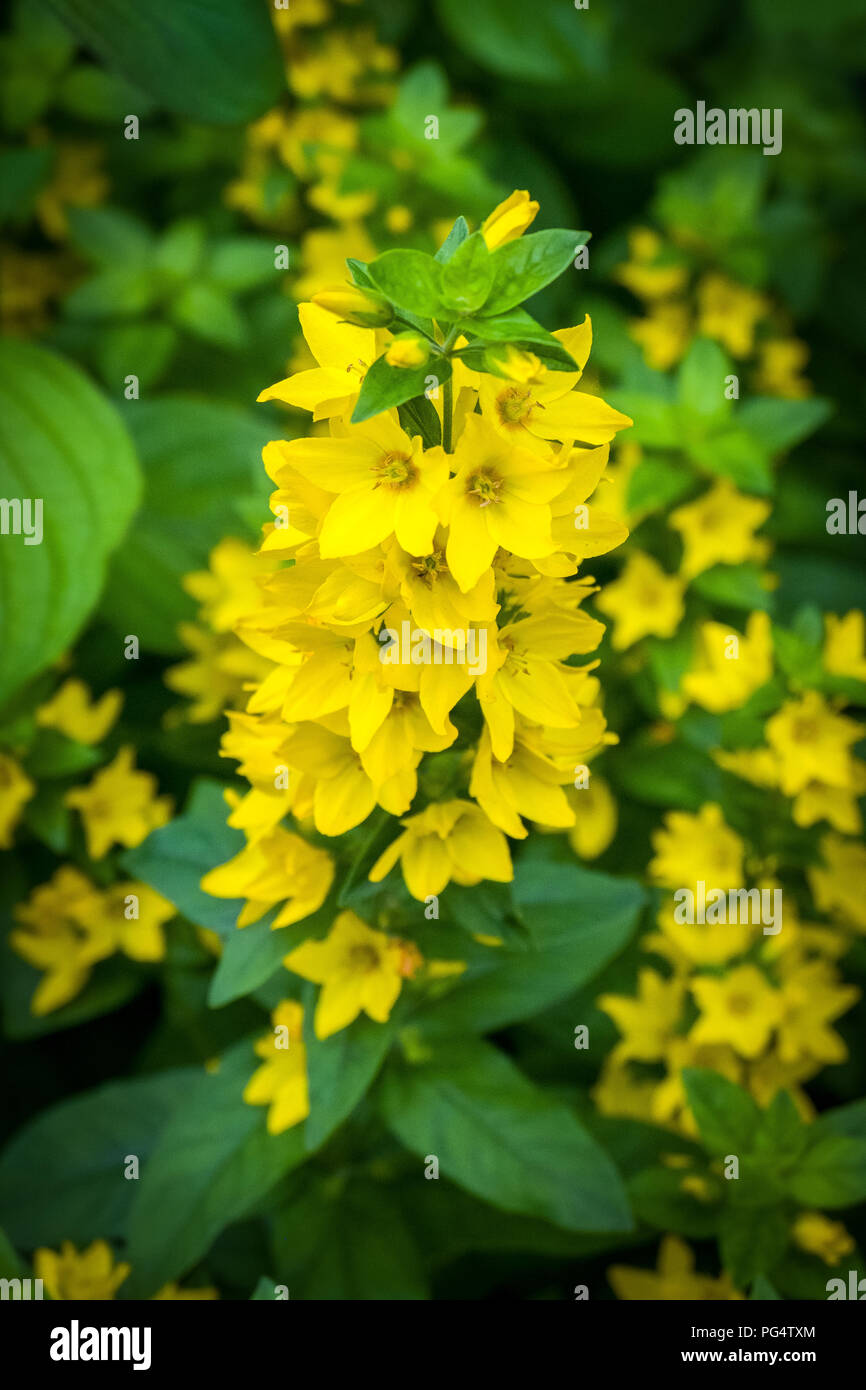 Bell shape yellow flower flowering stock photo 216466284 alamy bell shape yellow flower flowering mightylinksfo