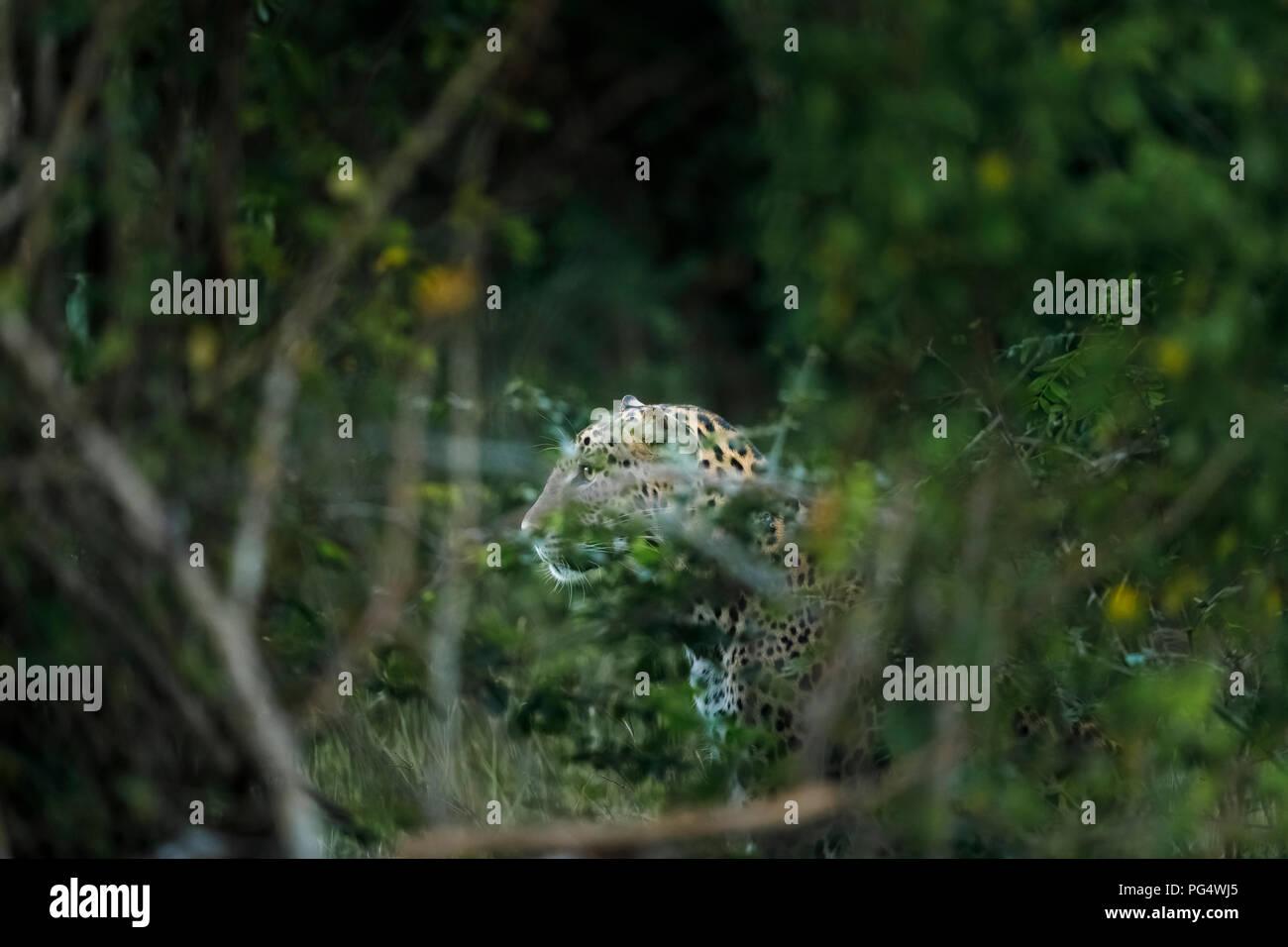 Watchful, alert female leopard (Panthera pardus) hidden in undergrowth stares intently, Kumana National Park, Eastern Province, Sri Lanka - Stock Image