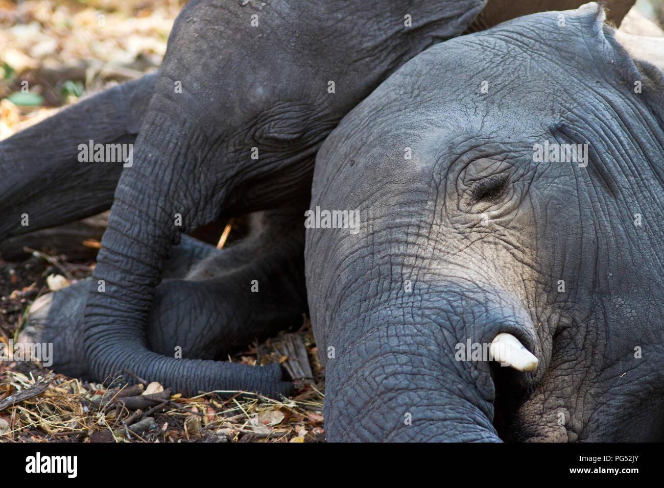 A pair of elephant calves take the chance to get some sleep as the breed herd rests during the heat of the day beneath a shady Tamarind tree. - Stock Image