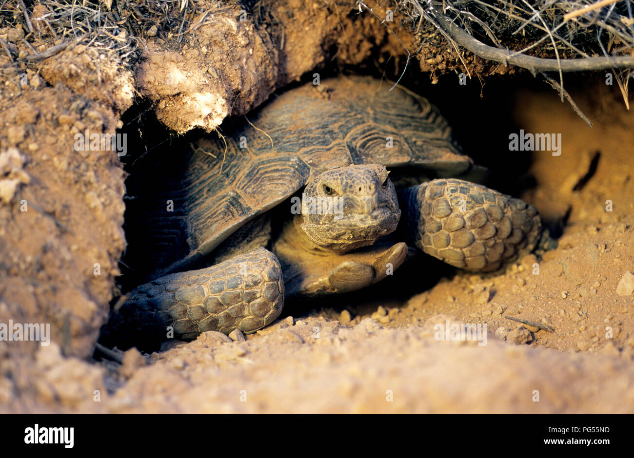 Desert tortoise (Gopherus agassizii) in burrow at Red Cliffs Desert Reserve in SW Utah - Stock Image