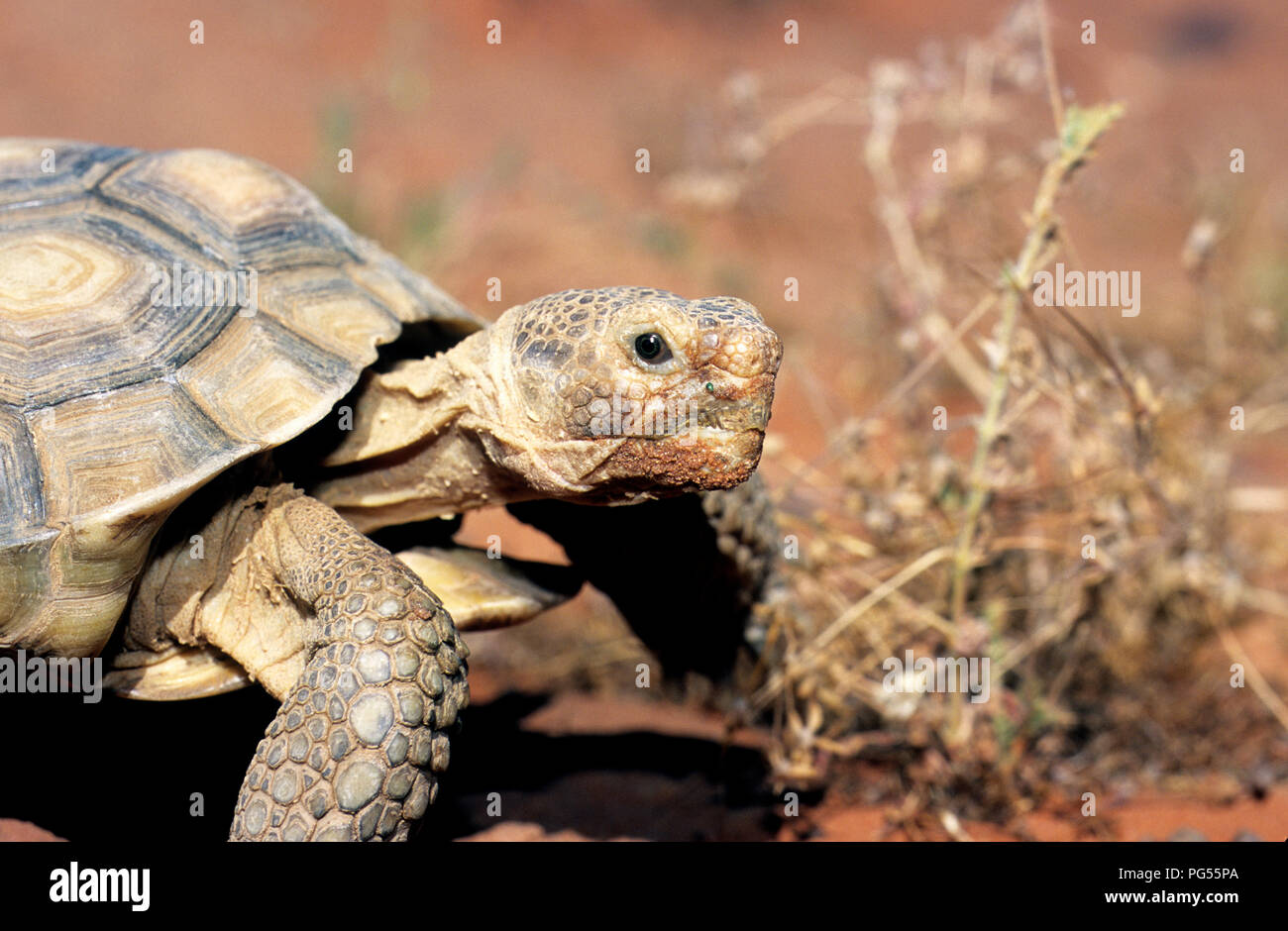 Desert tortoise (Gopherus agassizii) at Red Cliffs Desert Reserve in SW Utah - Stock Image