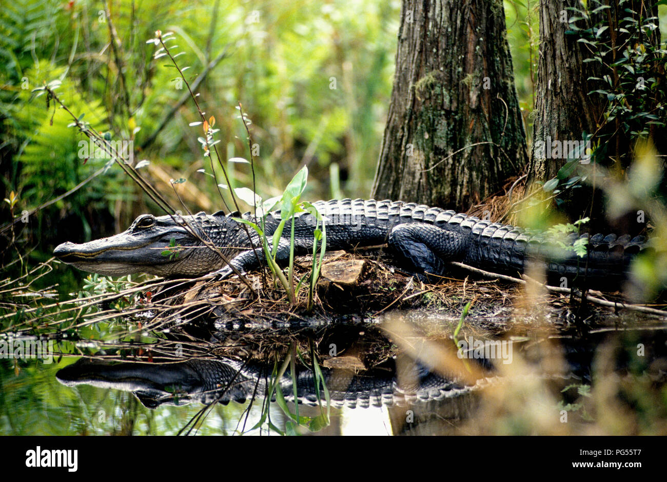 American alligator (Alligator mississippiensis) in the Okefenokee Swamp in Georgia - Stock Image