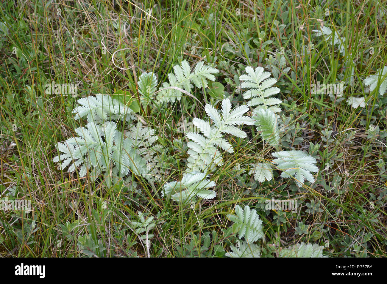 Silverweed - Stock Image