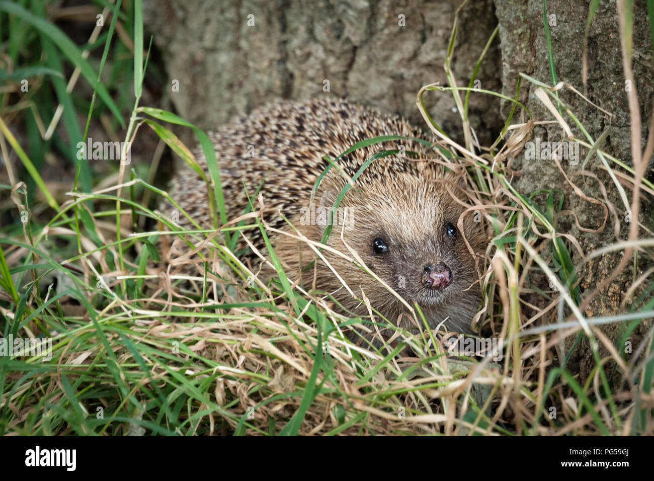 Close up profile of a hedgehog. It is foraging in the grass at the bottom of a tree trunk. It is peering through the grass Stock Photo
