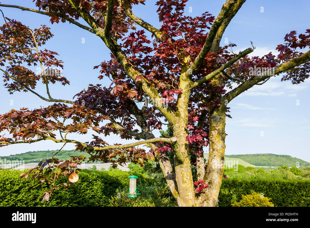 After die-back affected a mature Acer, judicious pruning in the autumn encouraged new growth in the heart of the tree in UK - Stock Image