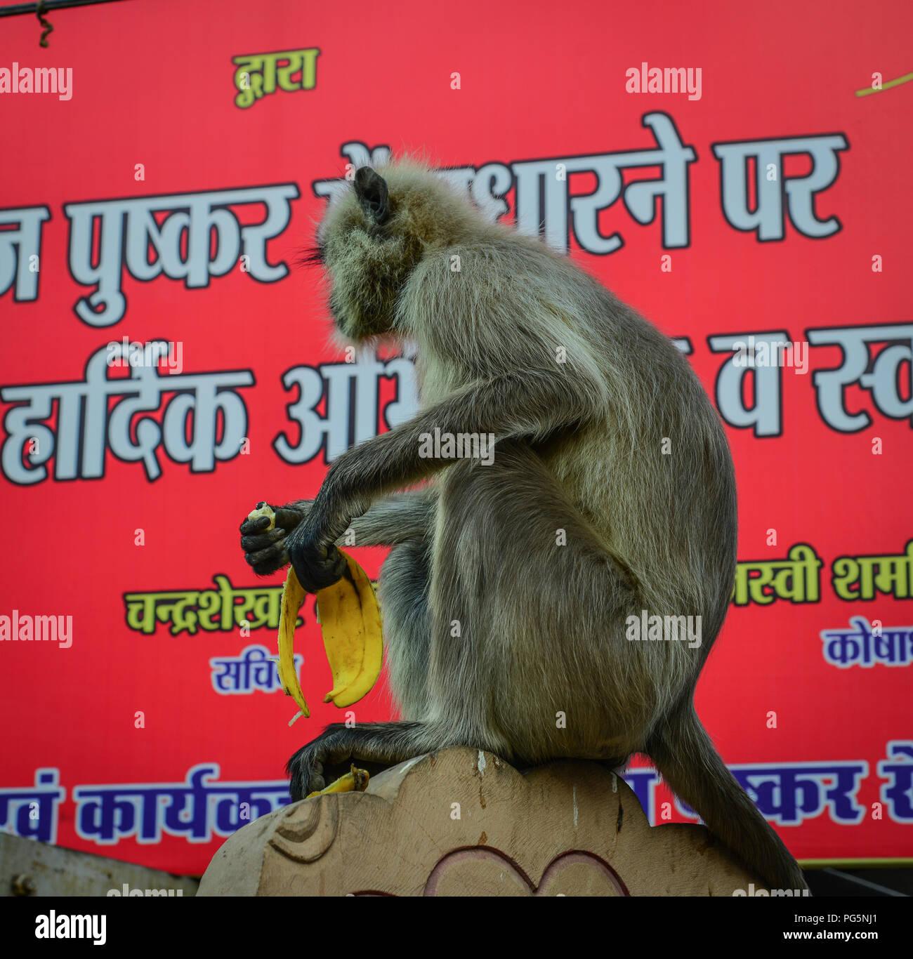 Pushkar, India - Nov 5, 2017. Monkey eating banana at street market in Pushkar, India. - Stock Image