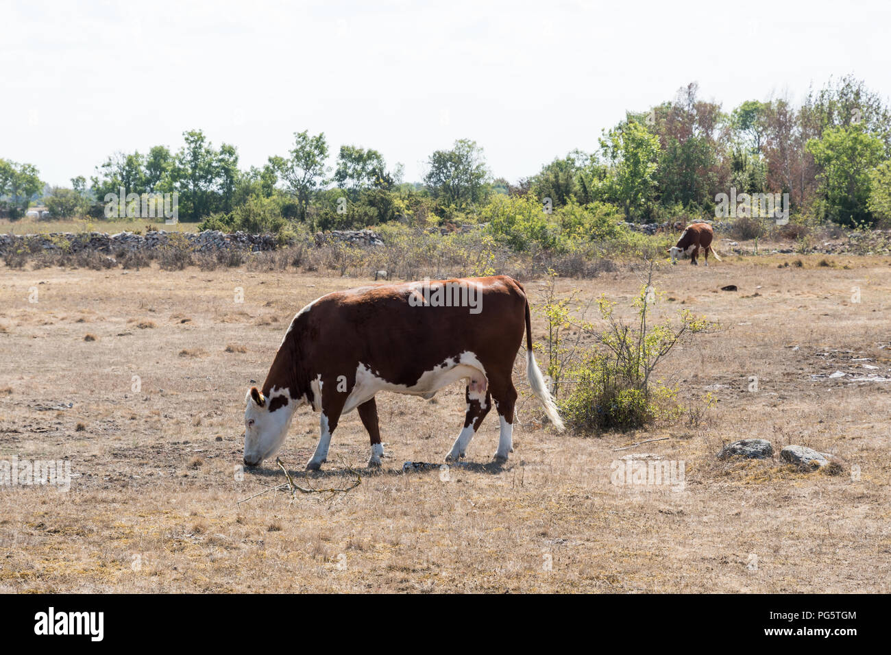 Grazing cattle in a dried grassland at the swedish island Oland - Stock Image