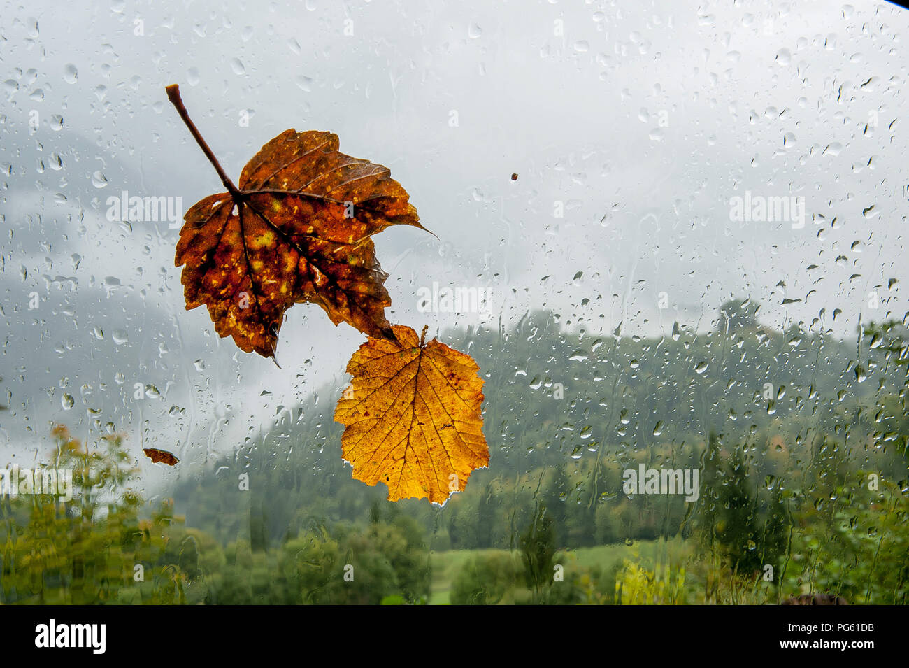 colorful leaves with water drops on glass - Stock Image