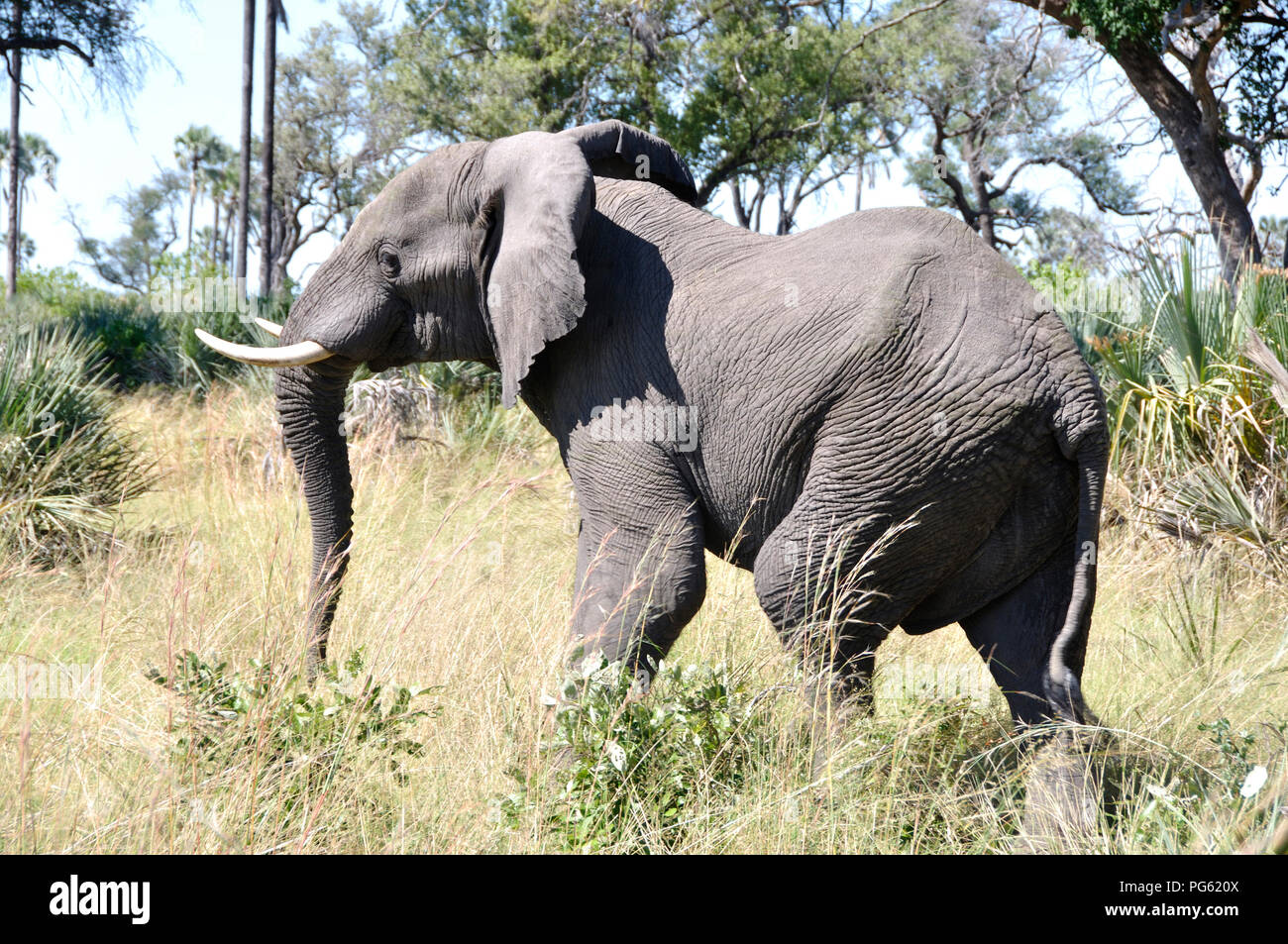 Botswana: Elephant in the Okavango-Delta swamps - Stock Image