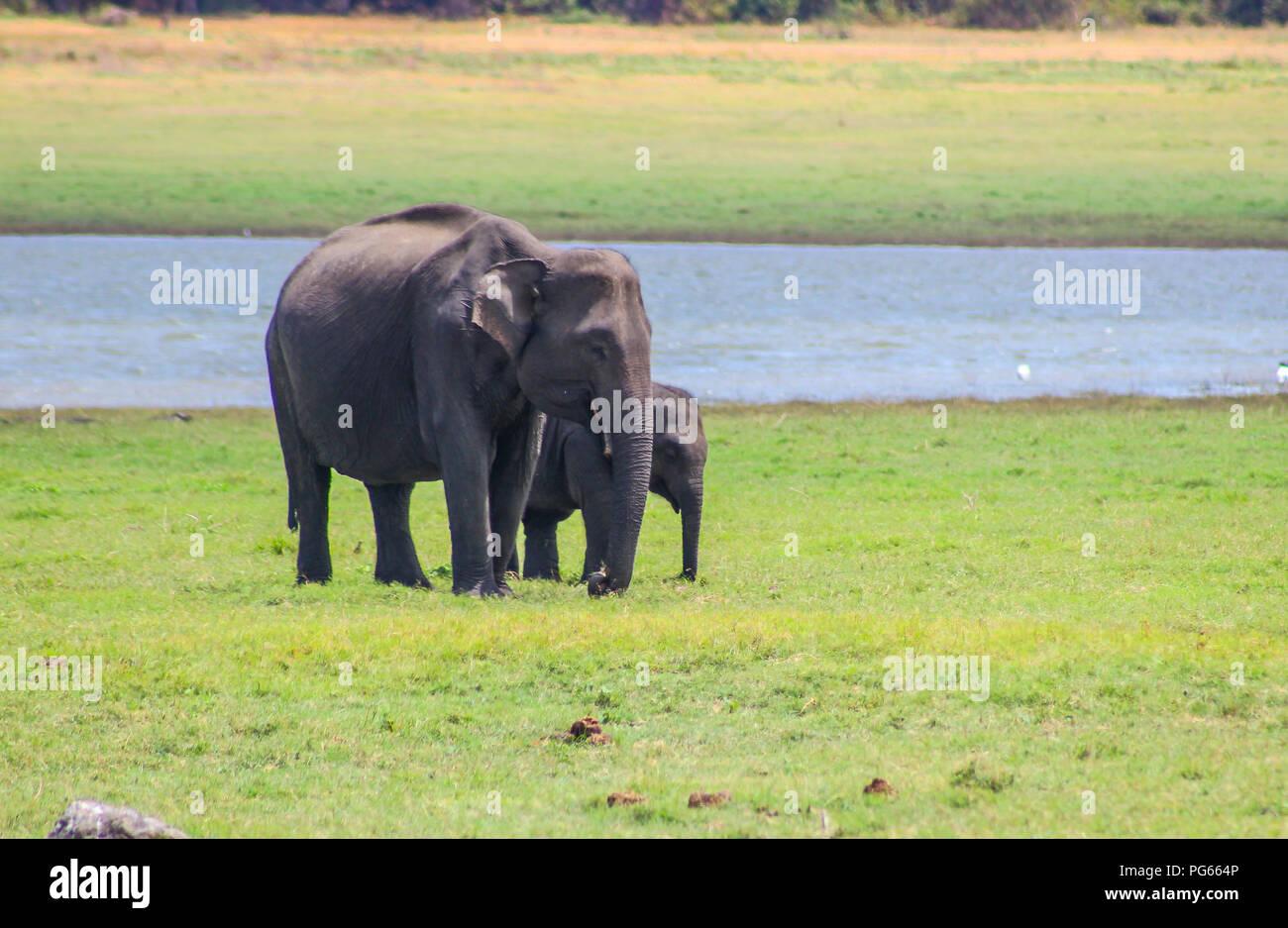 indian elephant, Sri Lanka - kaudulla national park Stock Photo