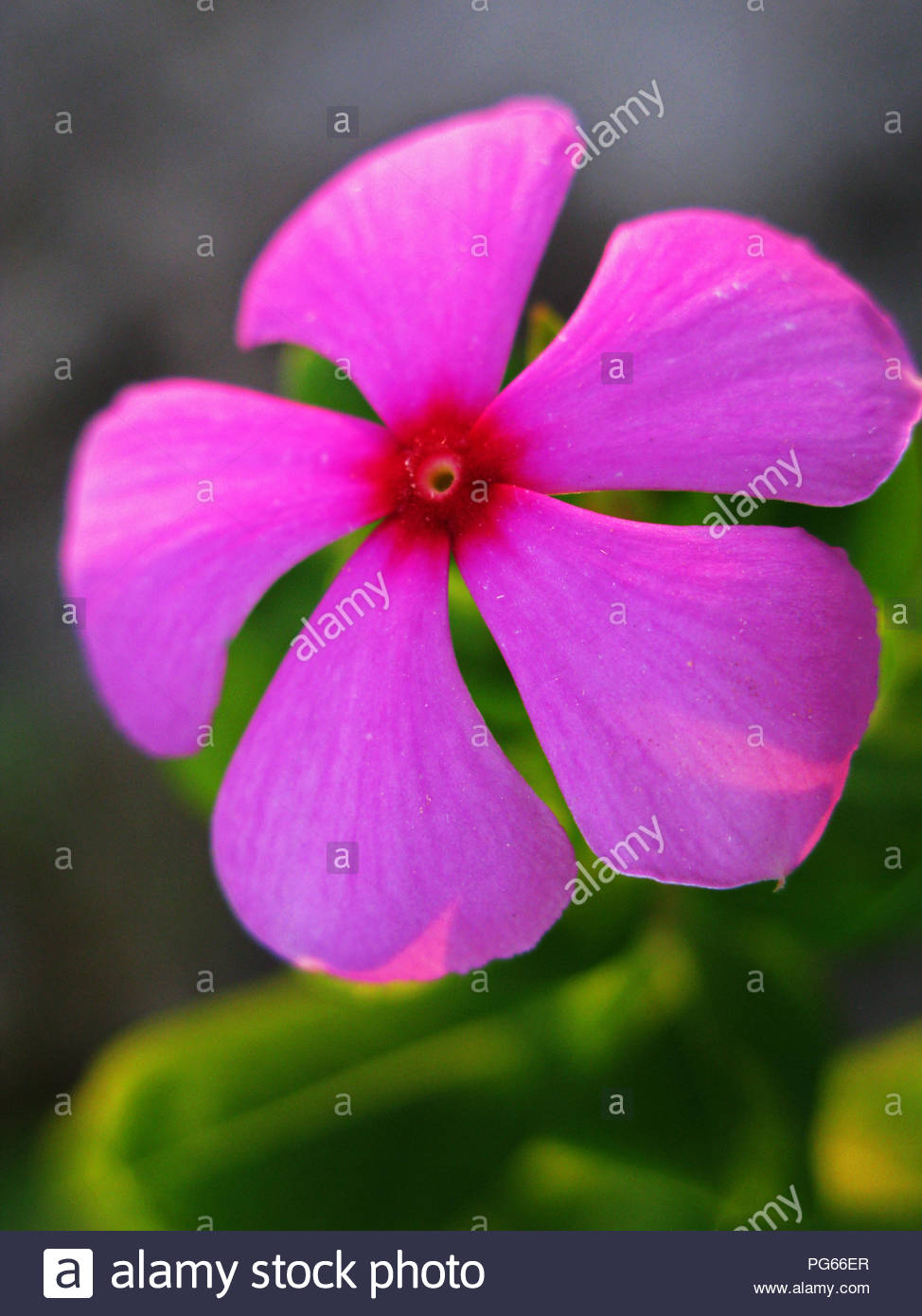 Pink Periwinkle Flower Stock Photos Pink Periwinkle Flower Stock