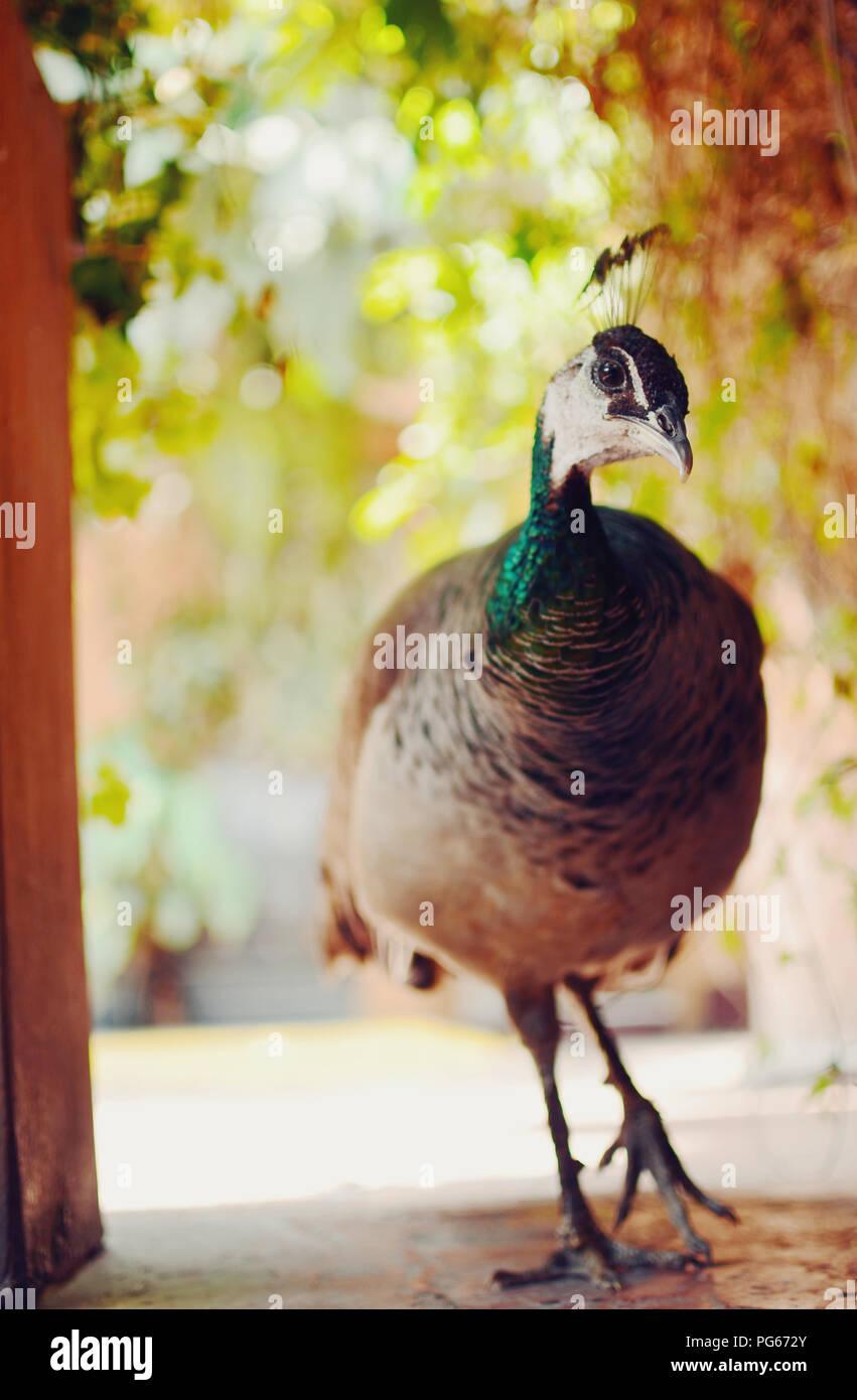 Closeup portrait of a peacock/peafowl - Stock Image