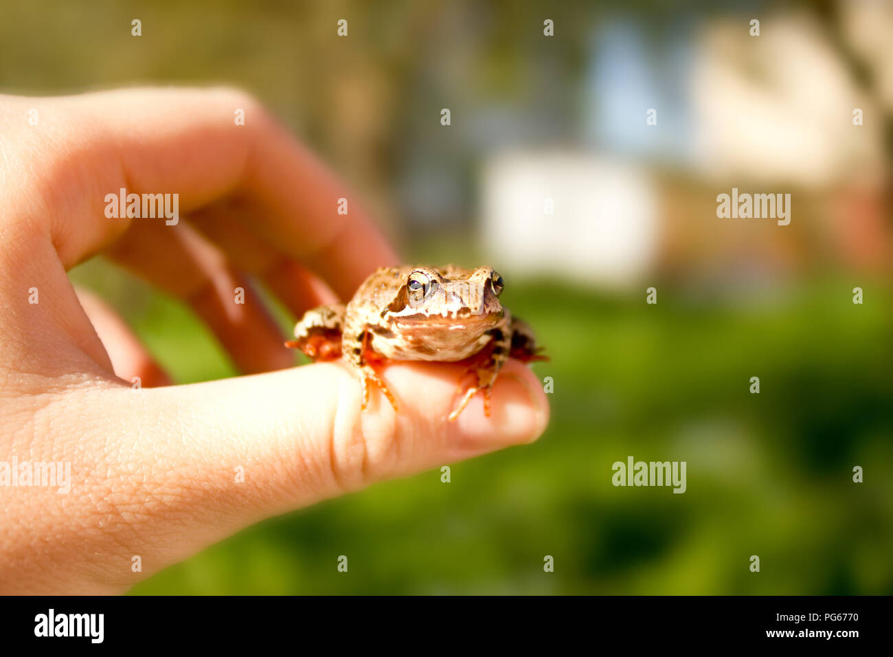 life in harmony with the wild nature - little frog in hand - Stock Image