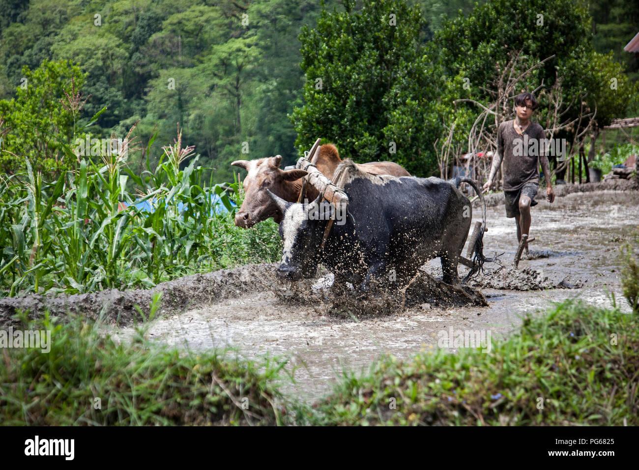 Ox yoke ploughing patch rice. Birethanti. Annapurna trekking. Nepal - Stock Image