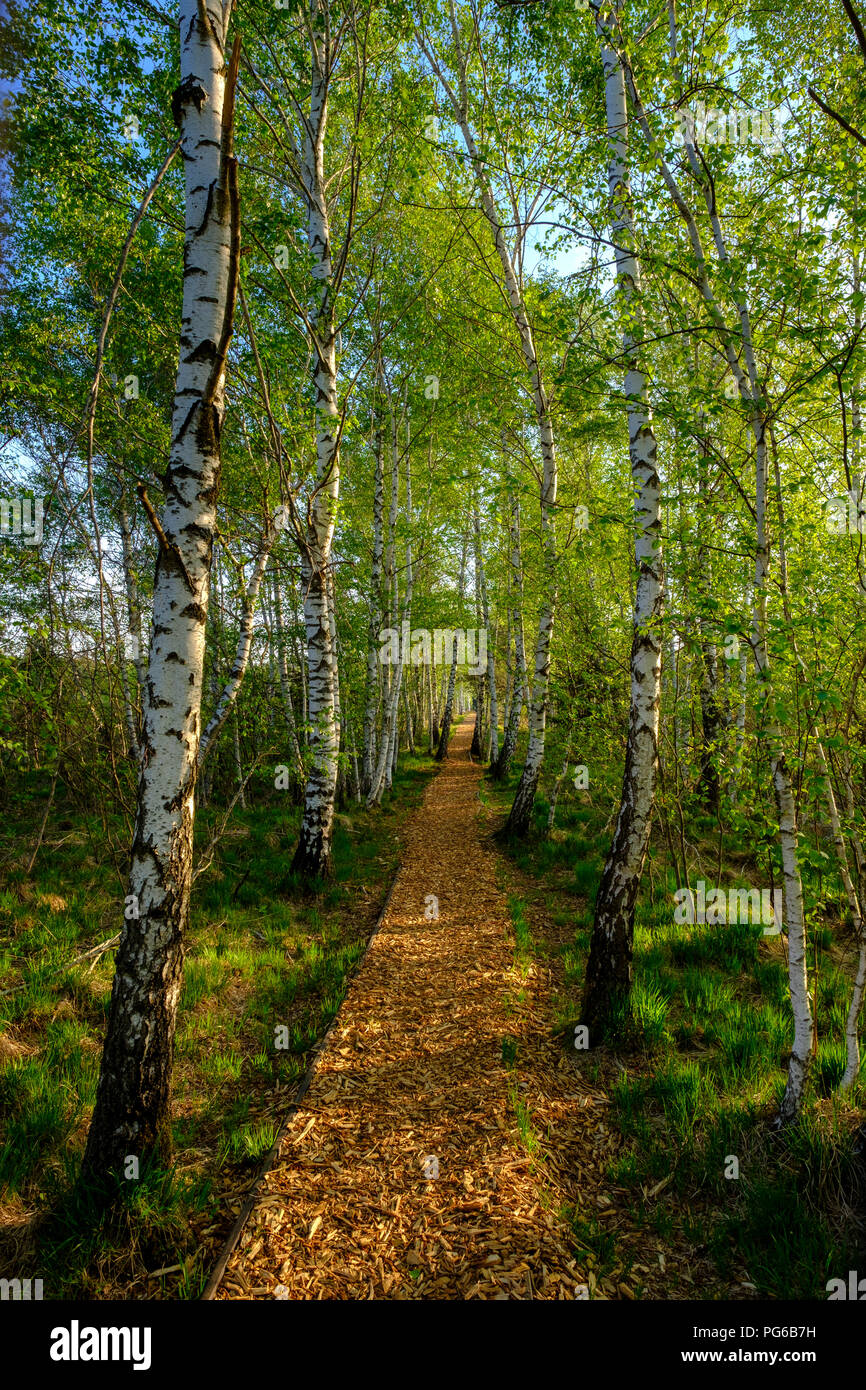 Germany, Bavaria, Upper Bavaria, Chiemgau, Grassau, alley with birch trees Stock Photo