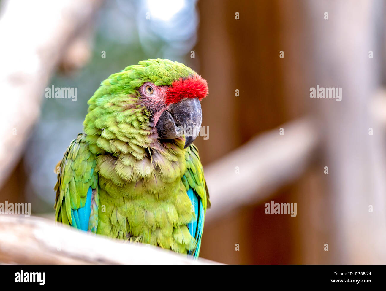Close up shot of a Parrot - Stock Image