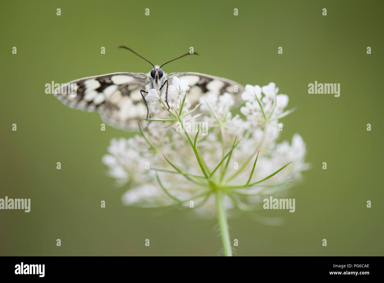Marbled white on flower - Stock Image